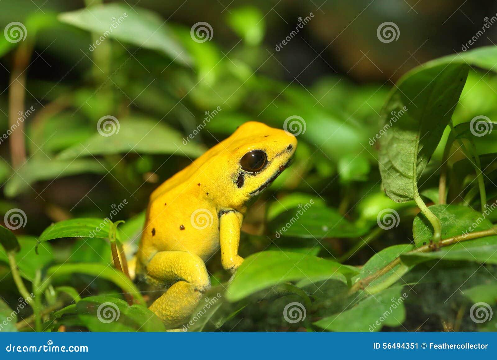 青蛙金黄毒物
