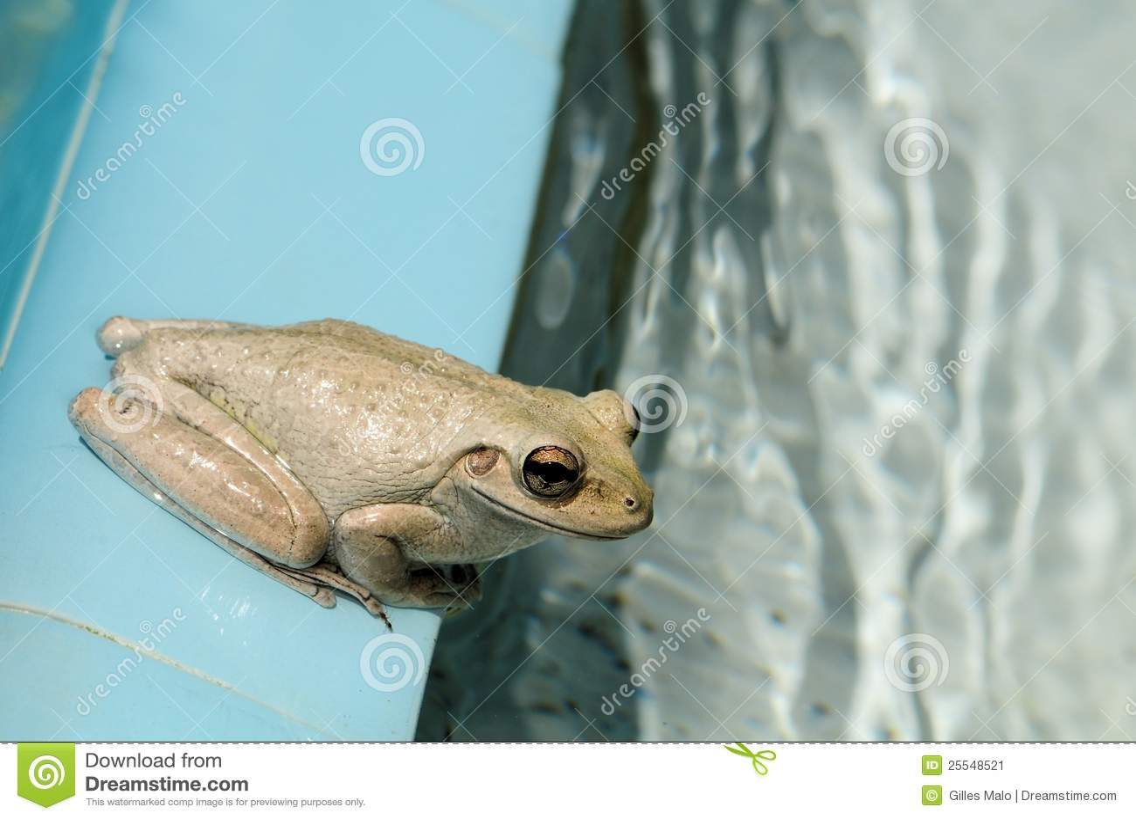 佛罗里达坐南游泳的青蛙池.图片