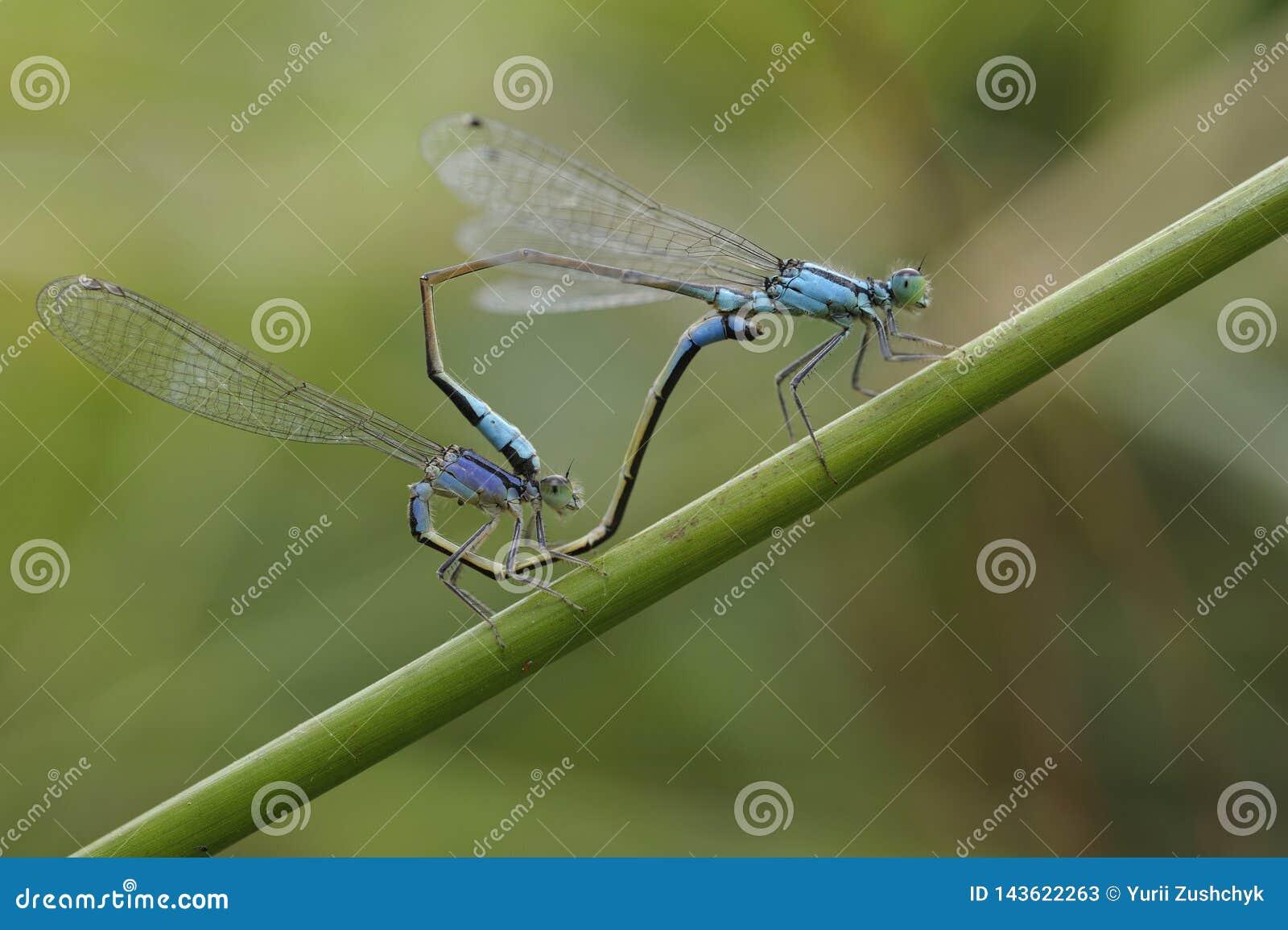 青被盯梢的蜻蜓,Ischnura elegans,联接在植物词根