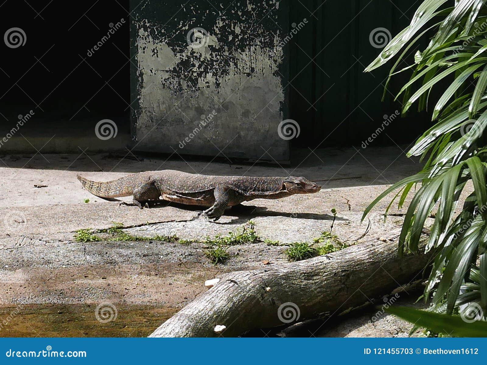 非常囚禁大蜥蜴爬行动物