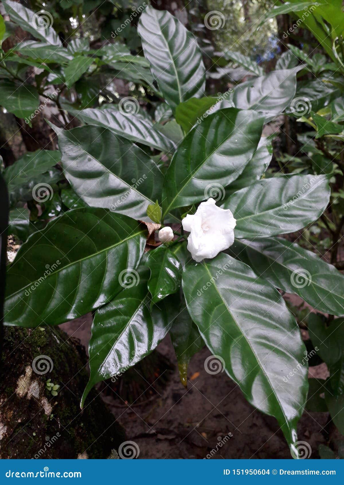 非常在婴孩树的好的贝利亚花