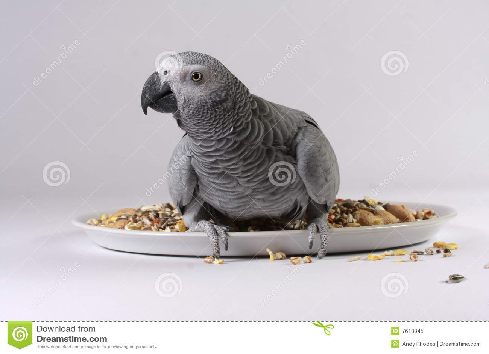 非洲人般的灰色鹦鹉种子