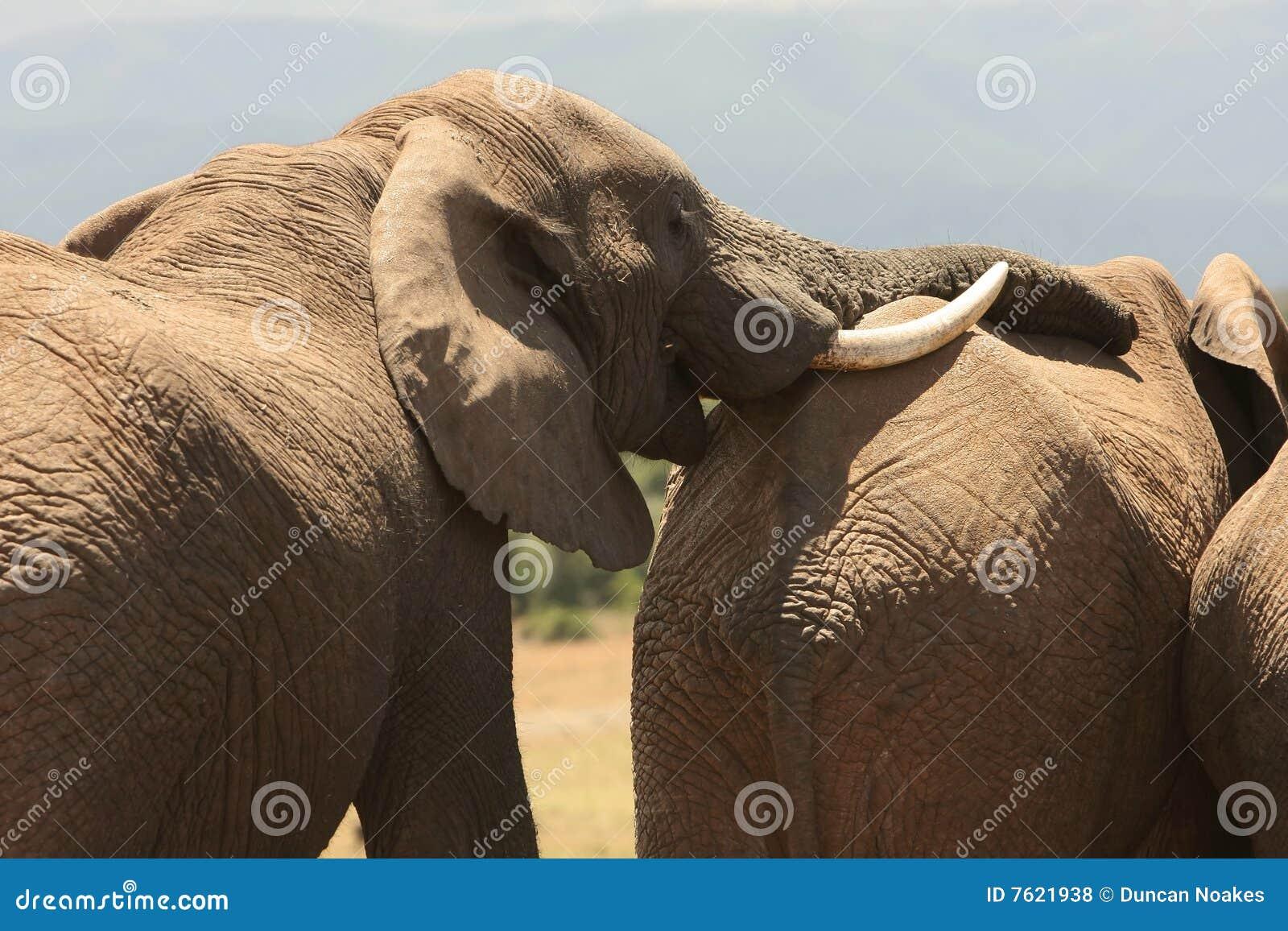 非洲大象其它