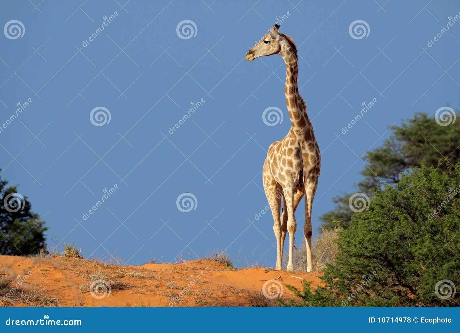 非洲沙漠长颈鹿南的kalahari