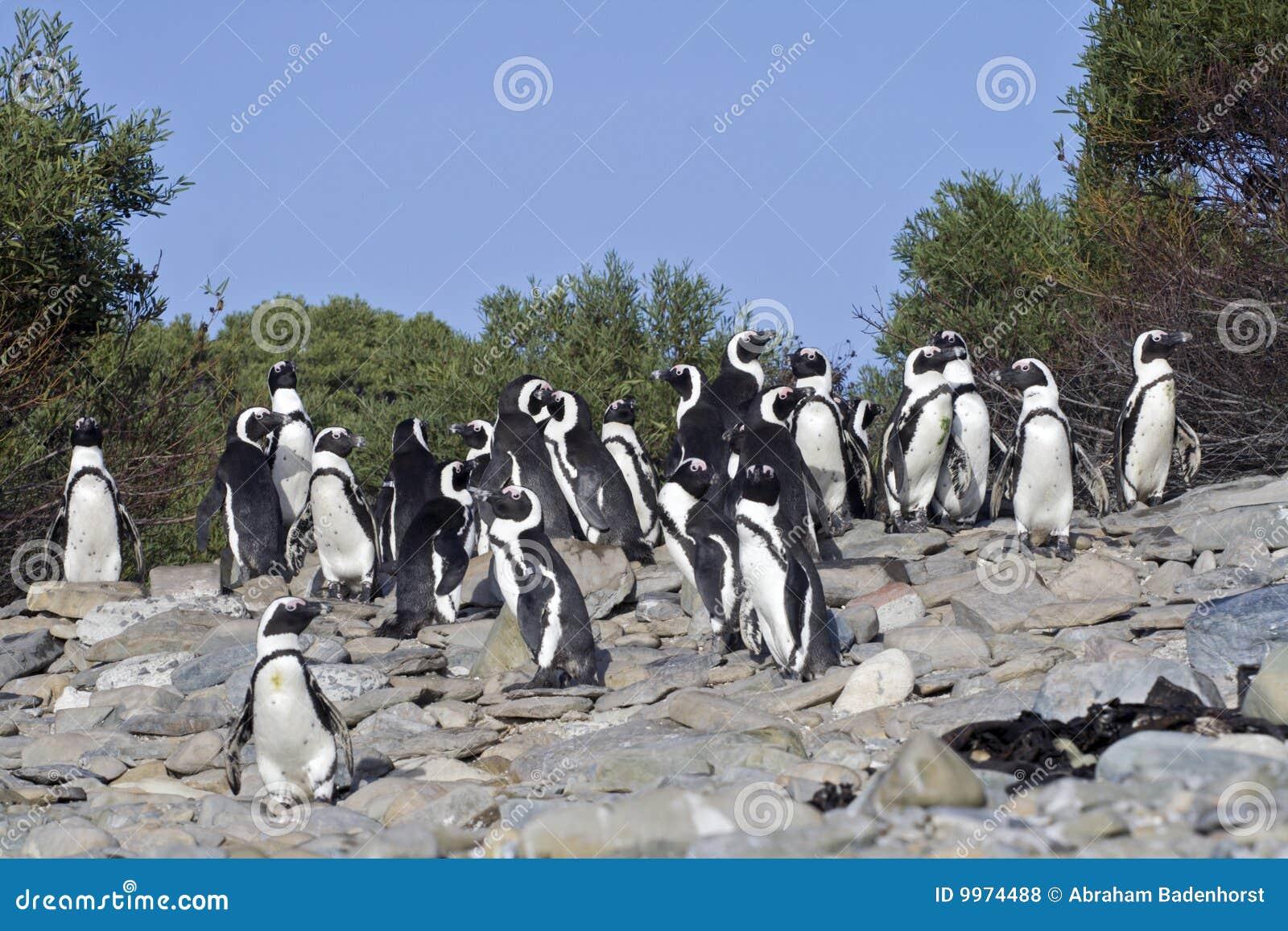 非洲海角海岛企鹅robben城镇