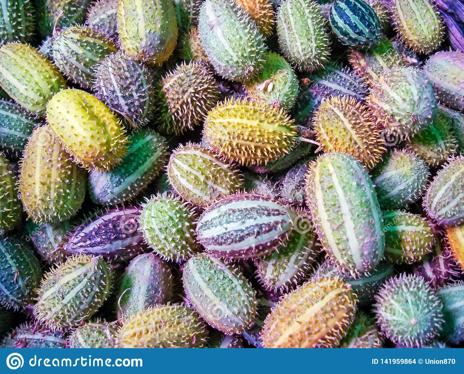 非洲狂放的黄瓜Cucumis africanus热带植物