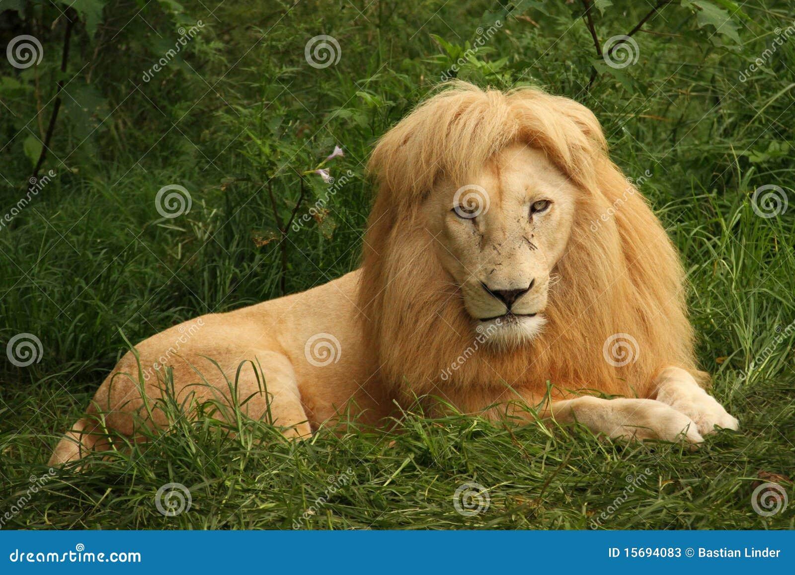 非洲草狮子开会