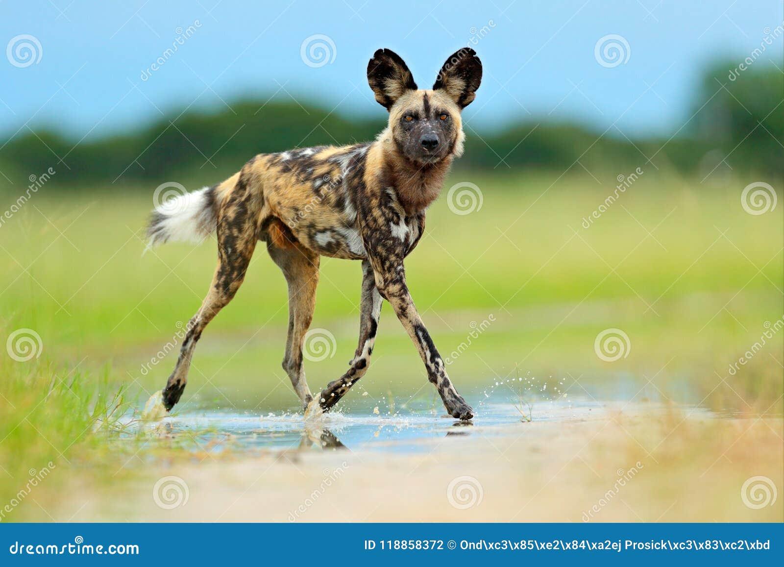 非洲豺狗, Lycaon pictus,走在路的水中 寻找与大耳朵的被绘的狗,在hab的美好的狂放的anilm