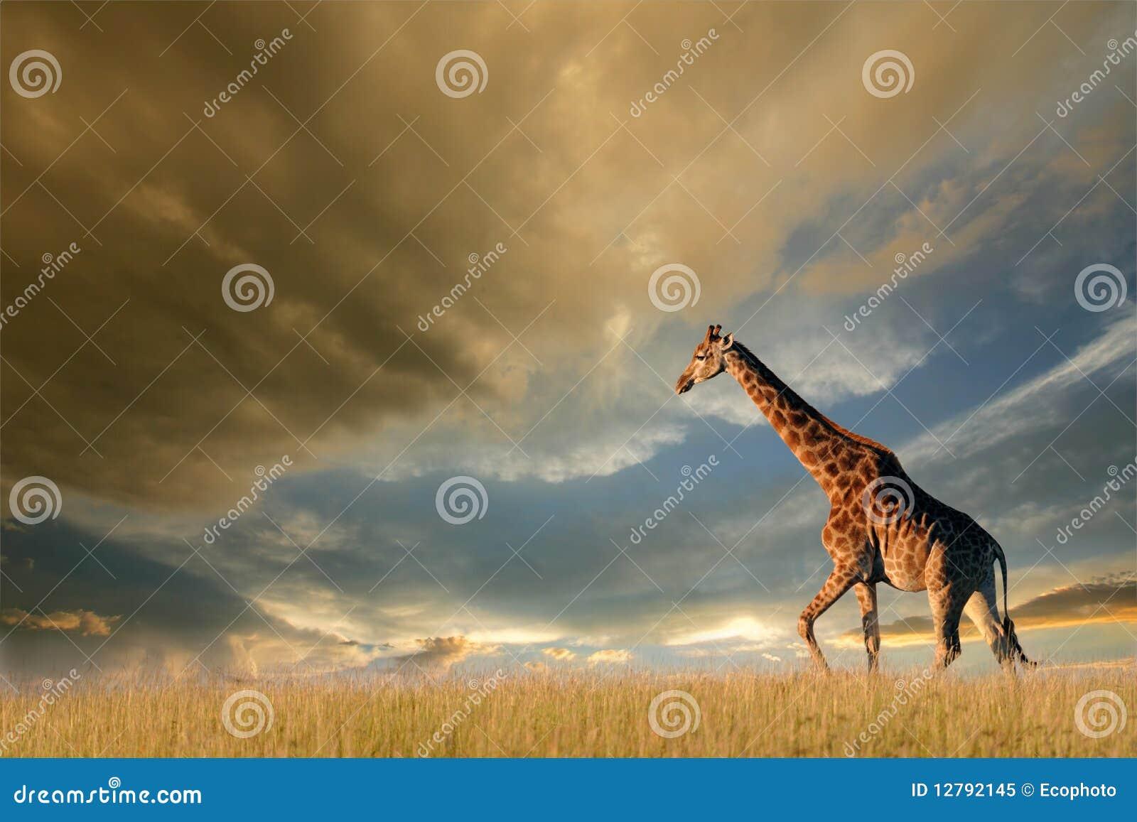 非洲长颈鹿无格式