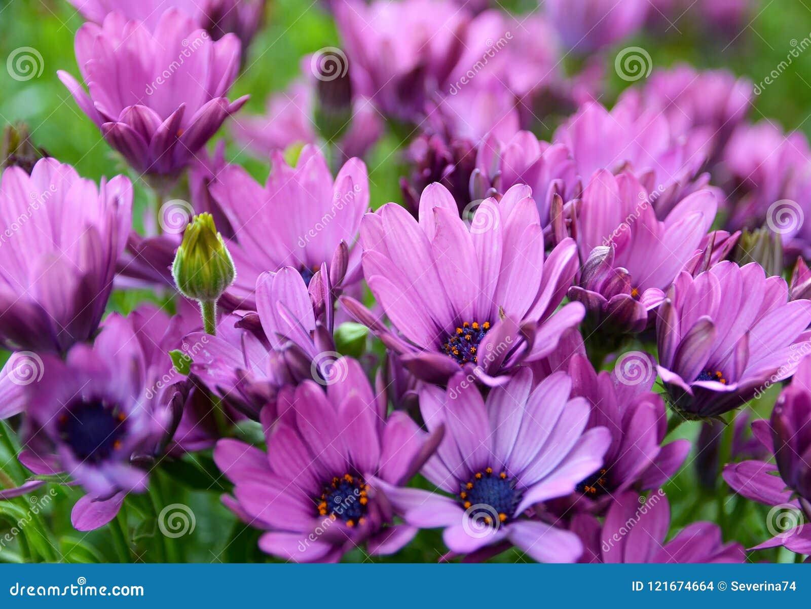 非洲雏菊ecklonis Osteospermum,海角延命菊,非洲雏菊在特内里费岛开花,加那利群岛,西班牙庭院里