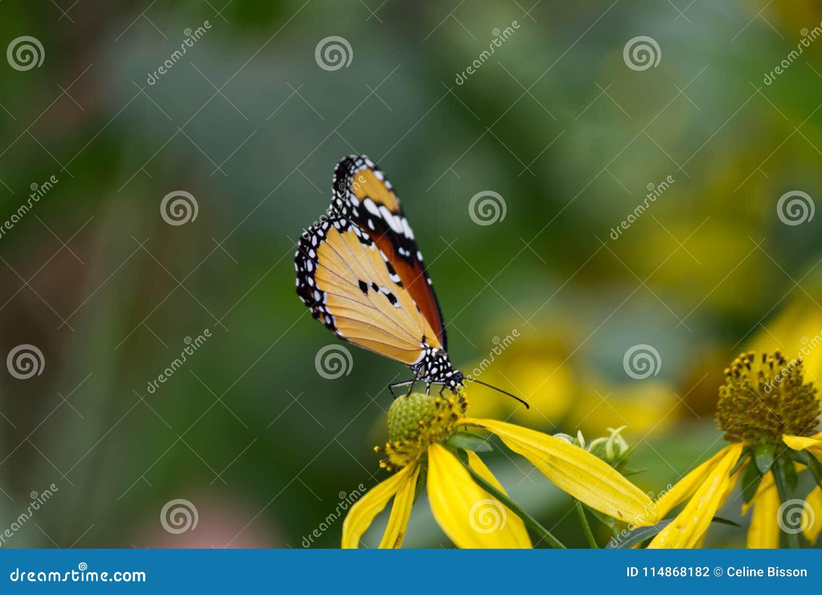 非洲黑脉金斑蝶的特写镜头