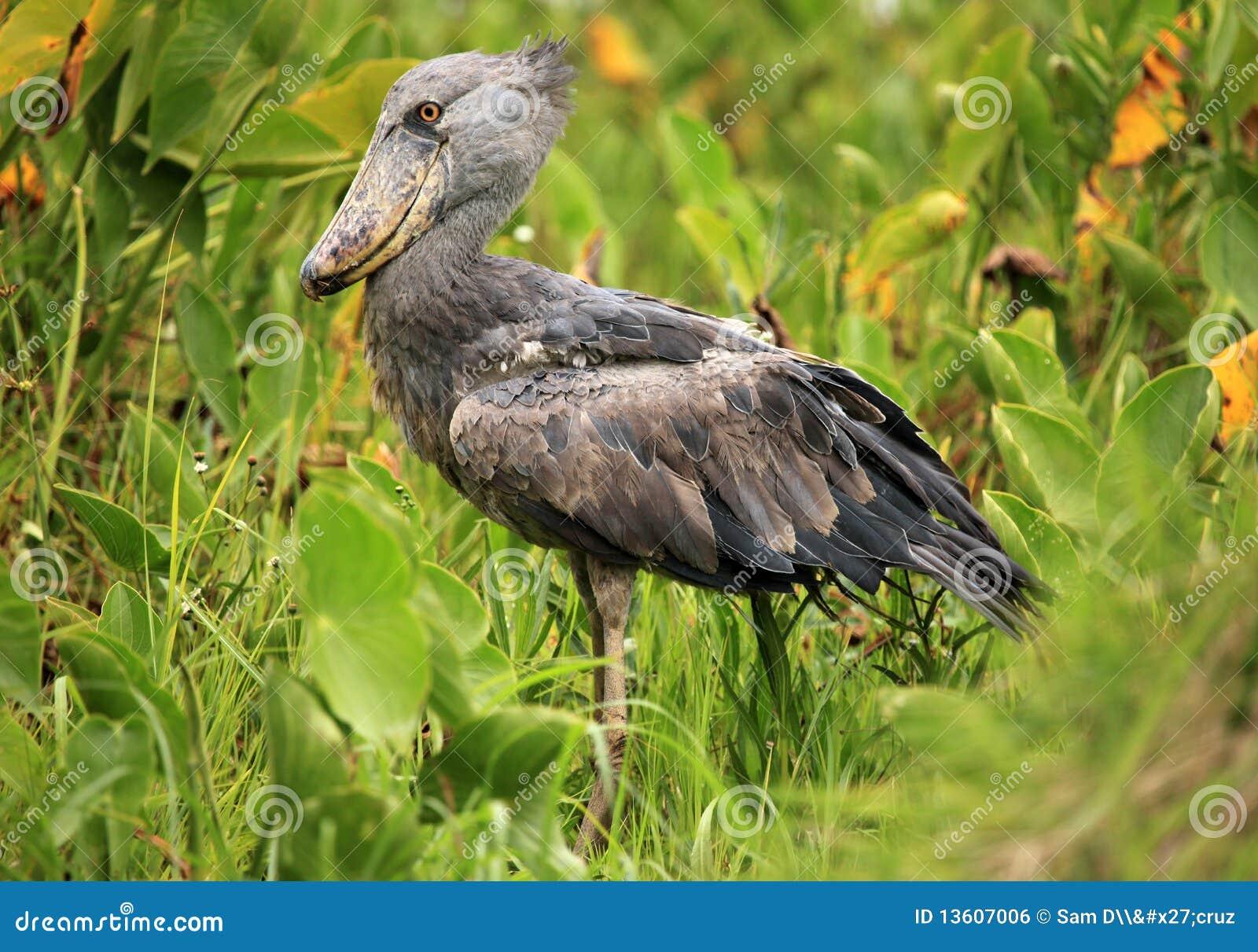 非洲shoebill通配的乌干达