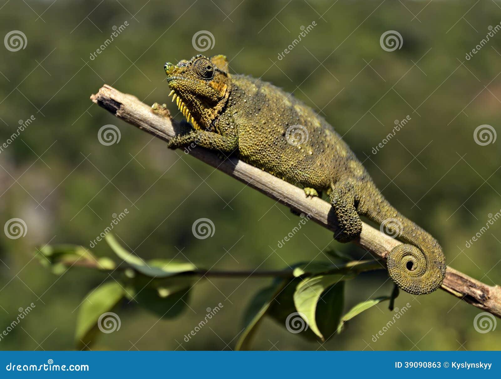 非洲变色蜥蜴