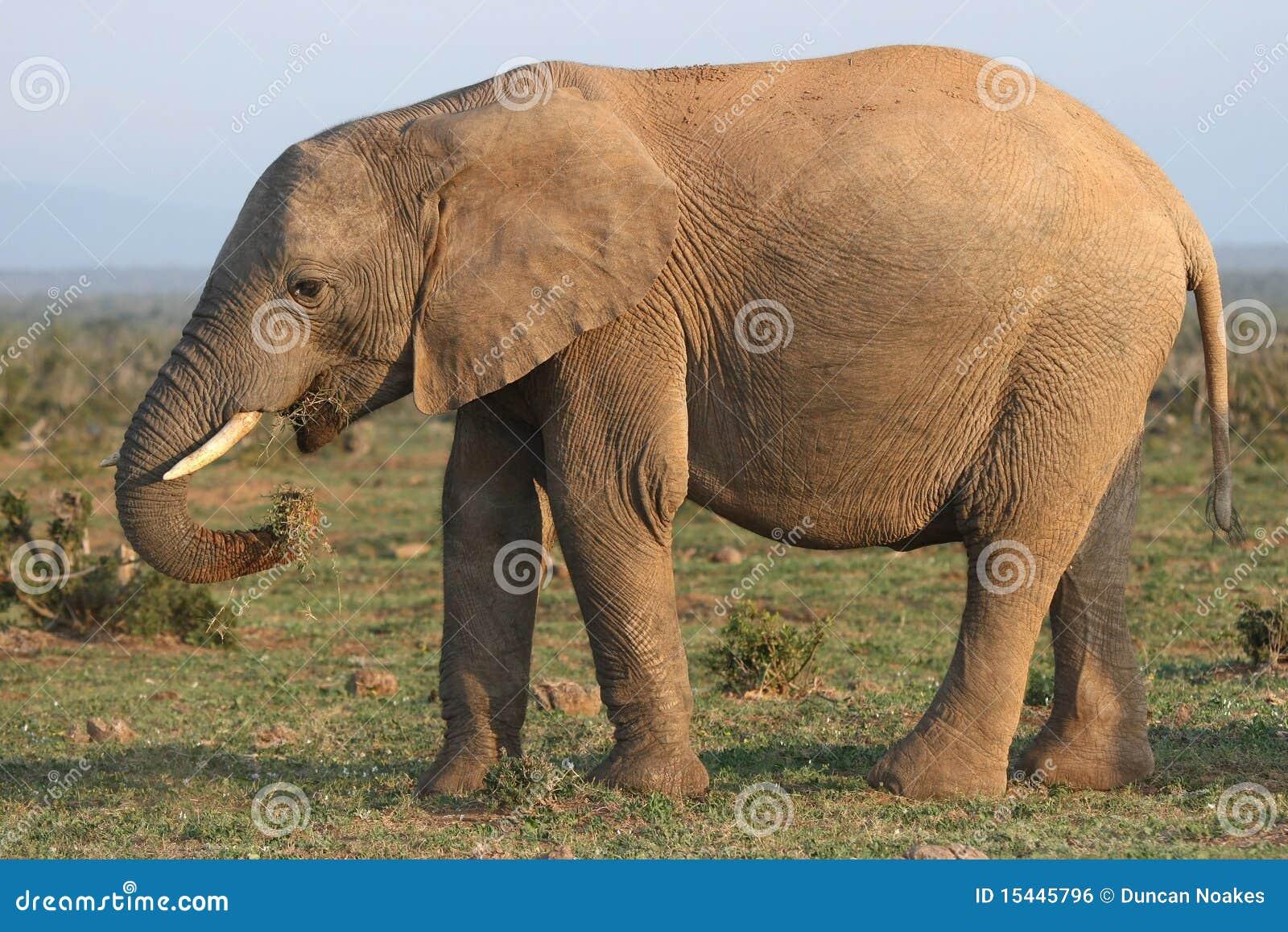 非洲吃大象草停下了的s树干.图片