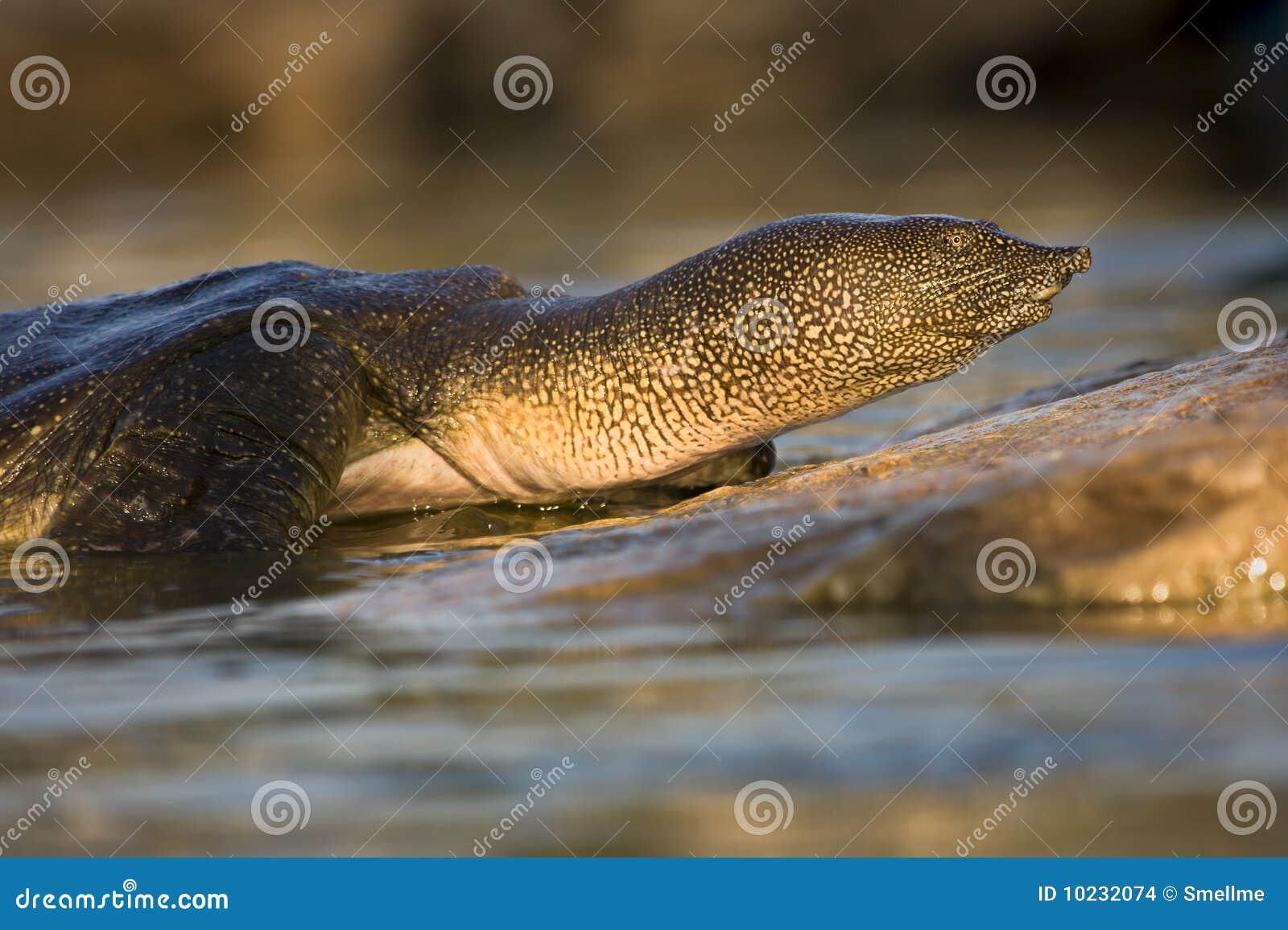 非洲通配纵向壳软的trionyx triunguis的乌龟.