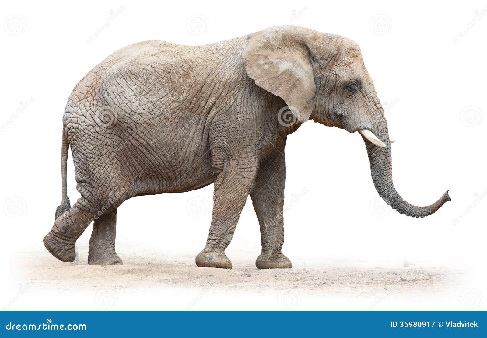 非洲大象。
