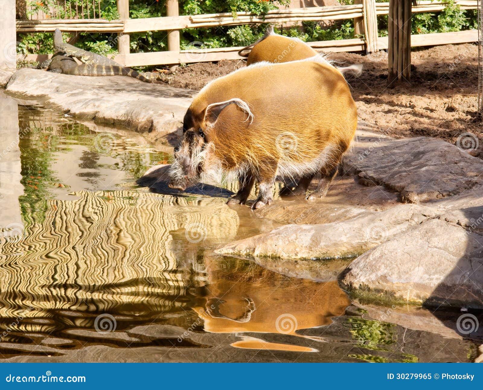 非洲河肉猪