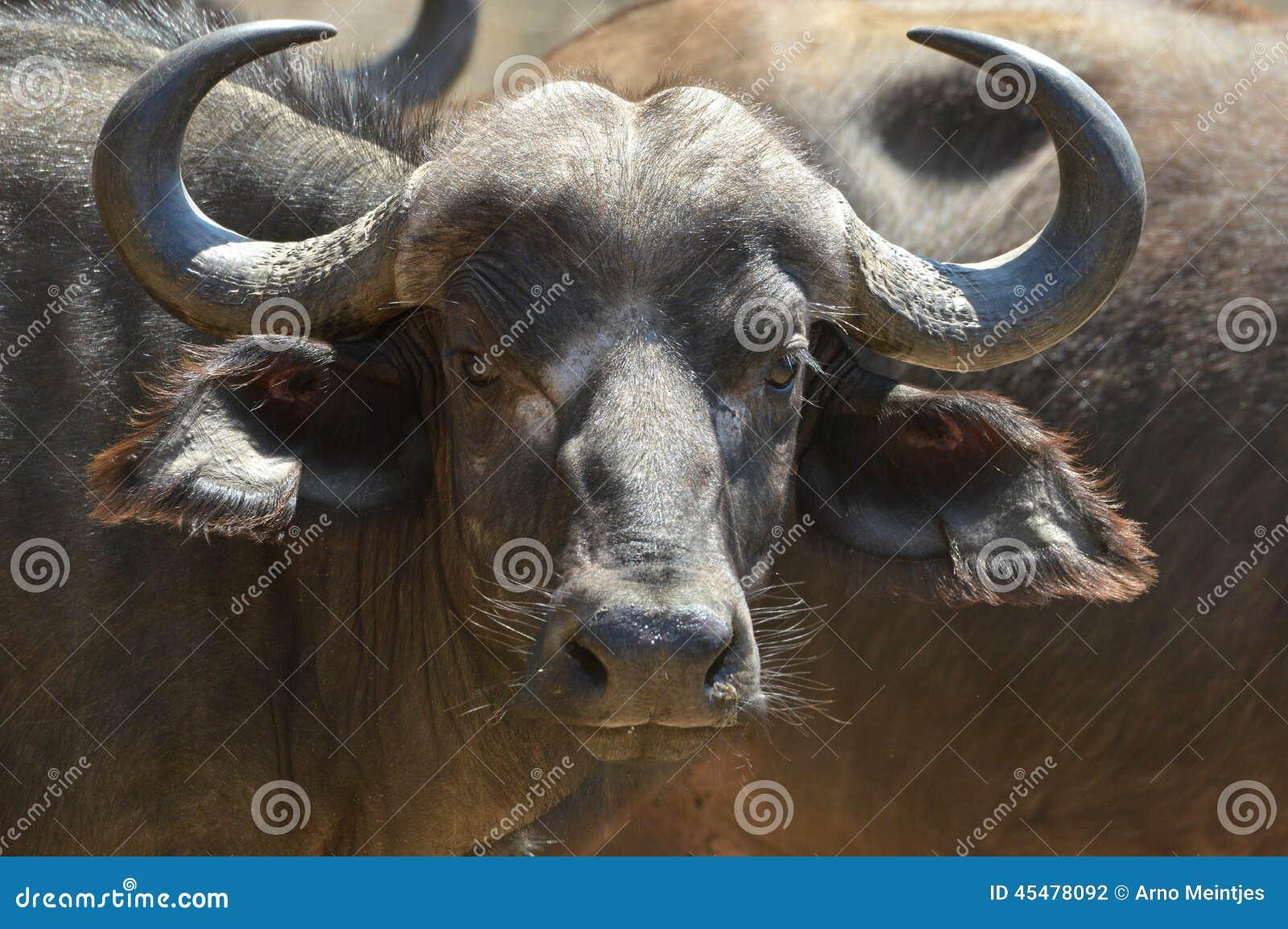 非洲水牛或Cape Buffalo (Syncerus caffer)