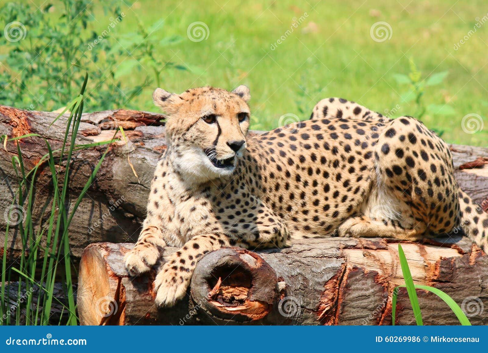 非洲猎豹猎豹属jubatus坐树