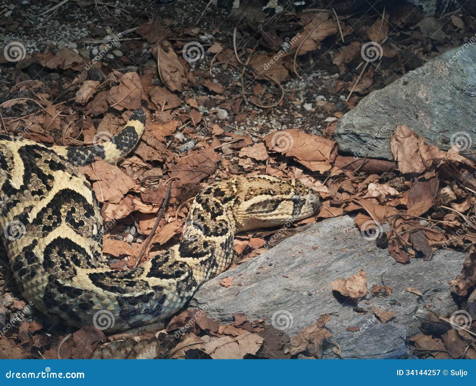 共同的非洲毒蛇bitis arietans,鼓腹毒蛇.