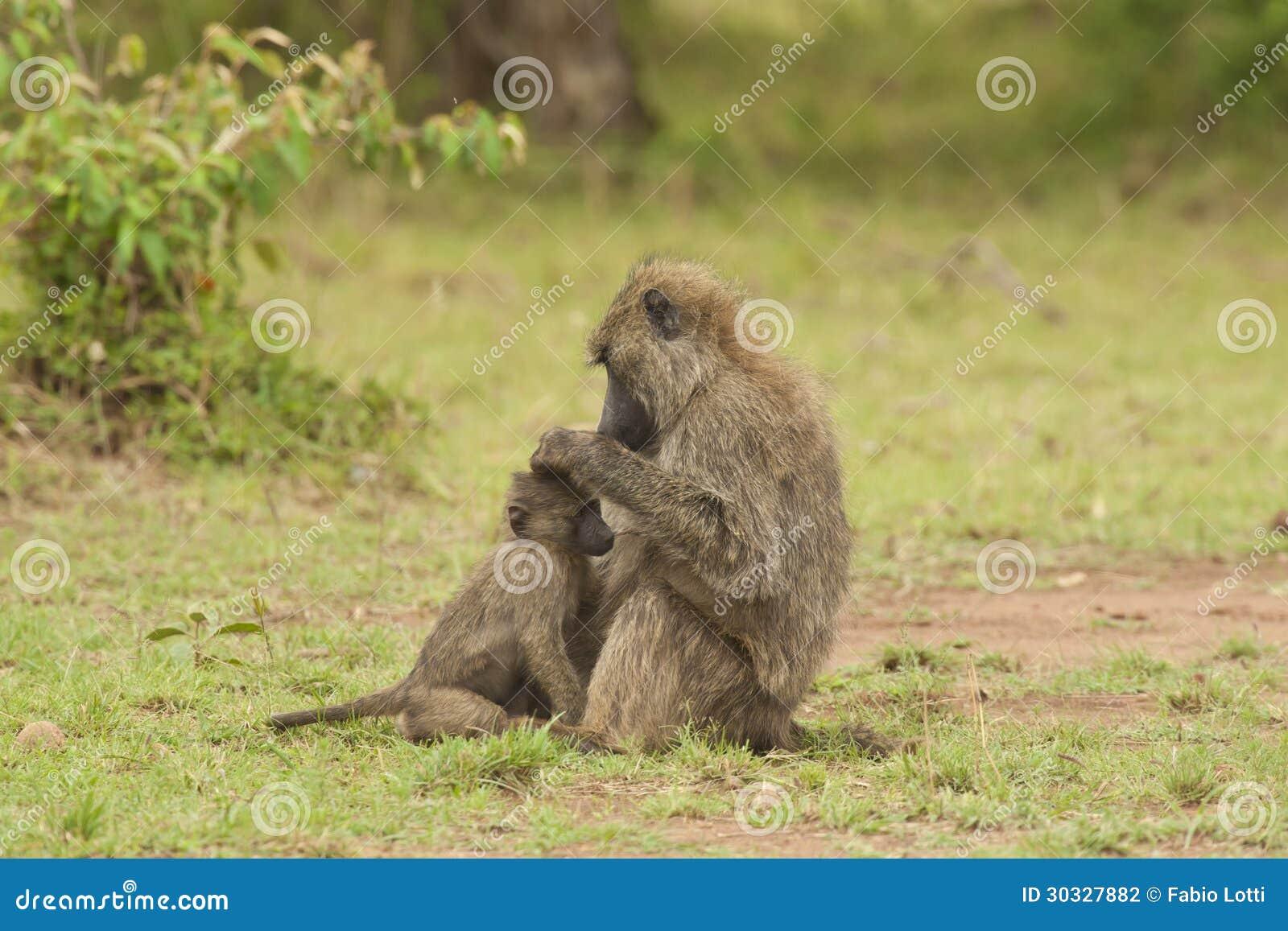 非fleaing橄榄色的狒狒Cub