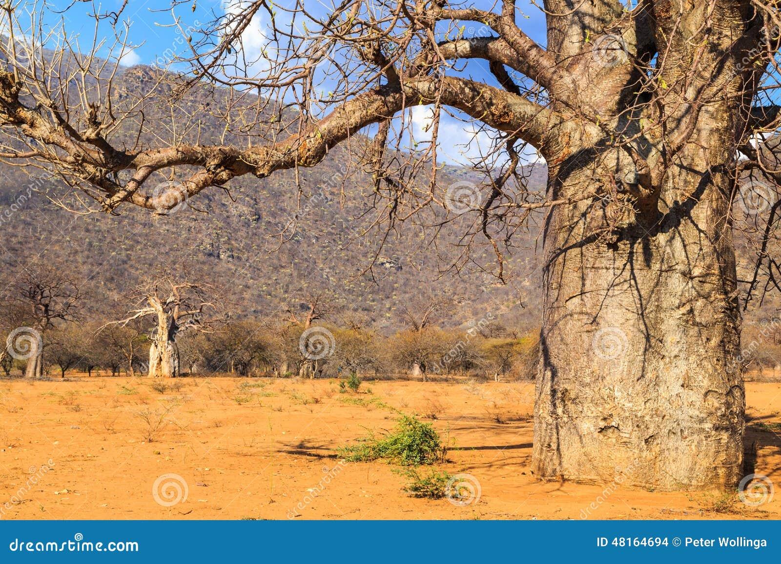 猴面包树树树干在猴面包树森林里