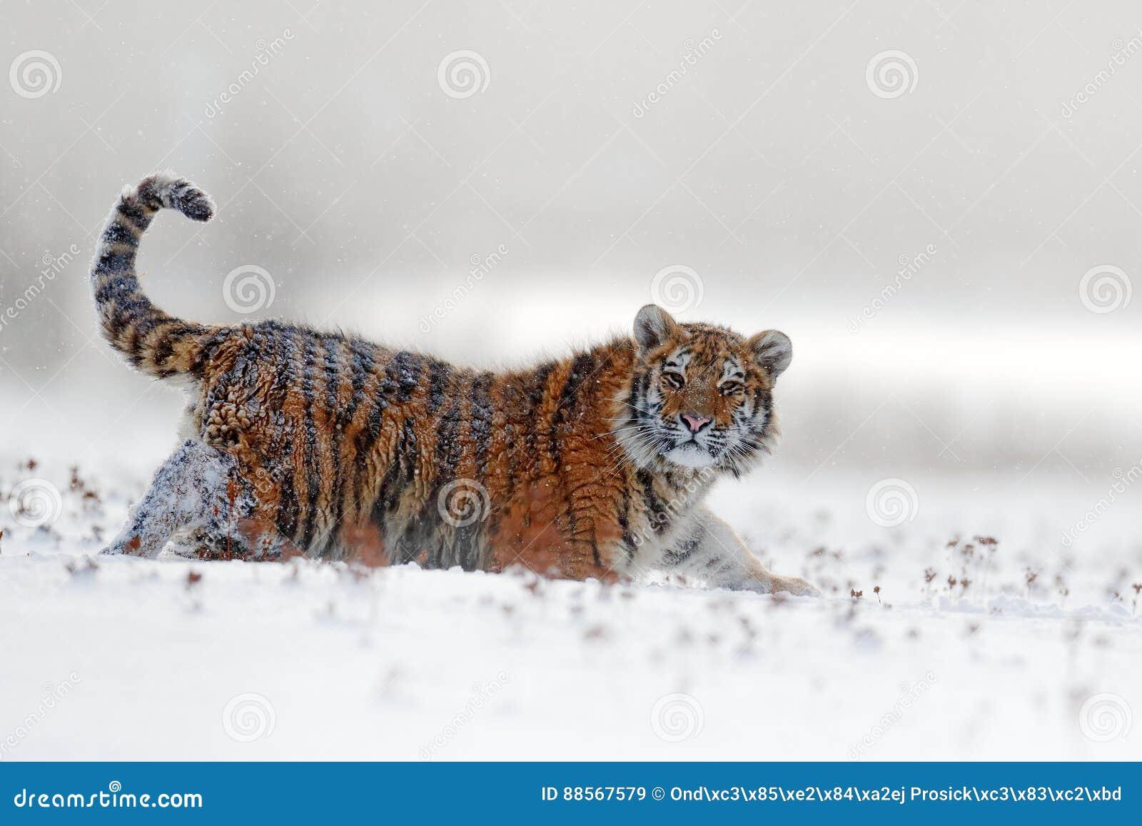 面孔固定的老虎神色 在雪秋天的东北虎 跑在雪的阿穆尔河老虎 行动野生生物与危险生命的冬天场面