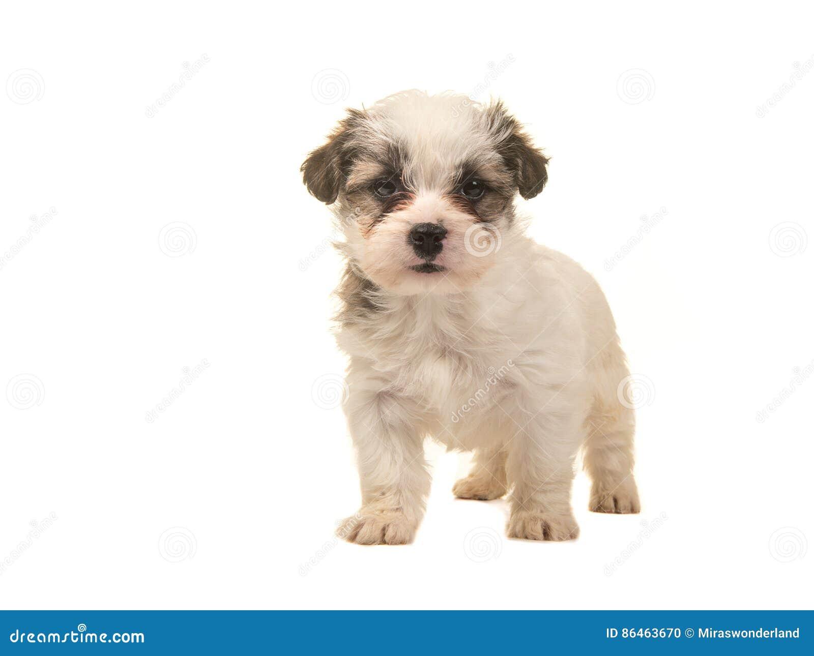 面对照相机的布朗和白色常设临时工小狗