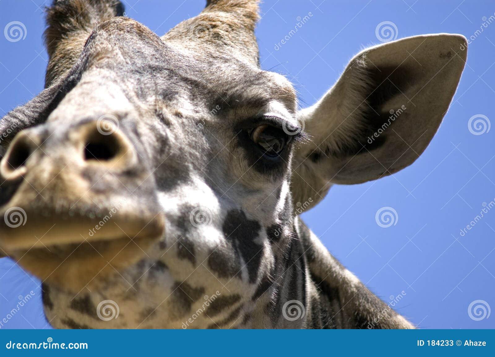 面对长颈鹿