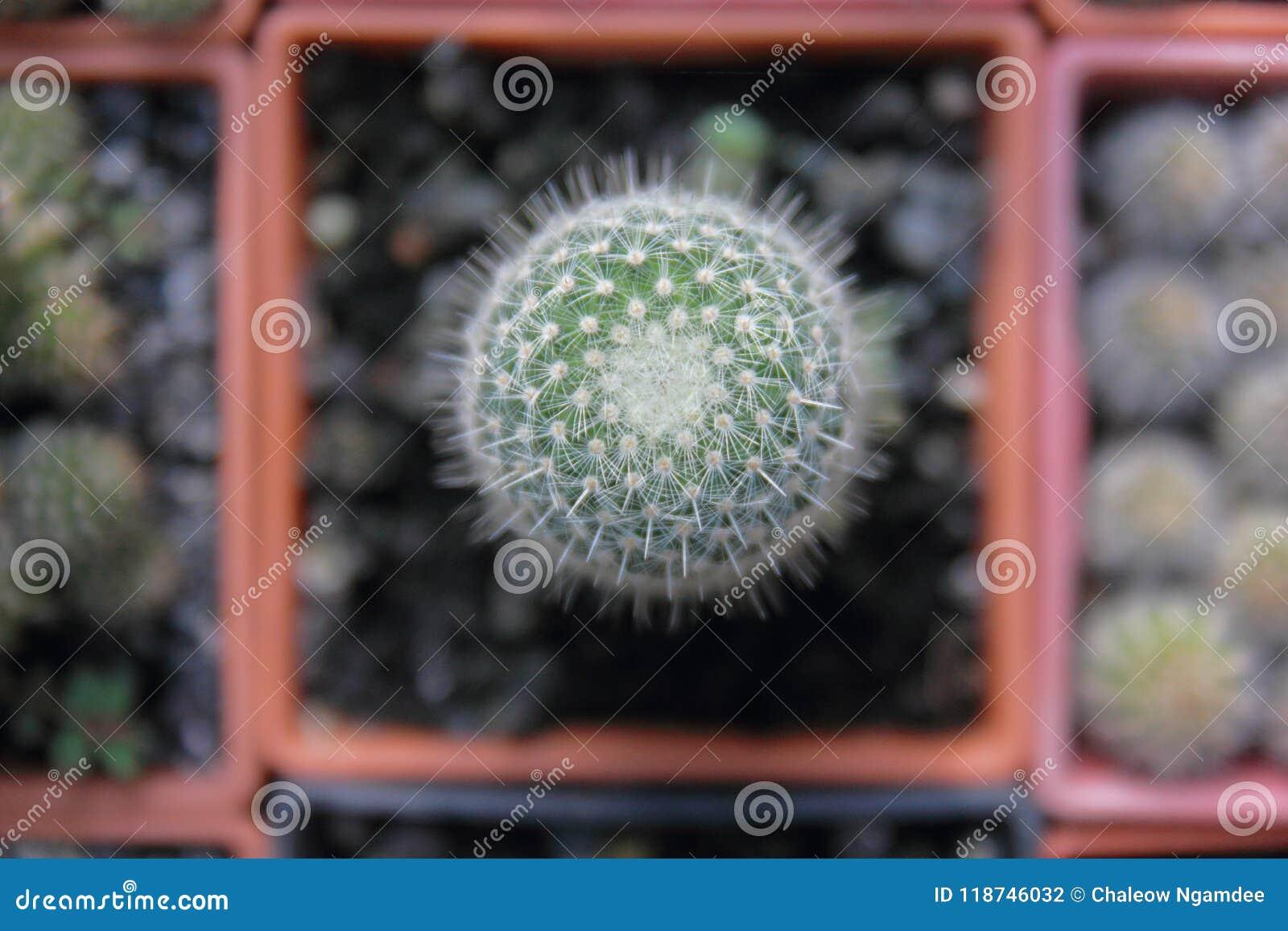 顶视图仙人掌庭院,中心焦点