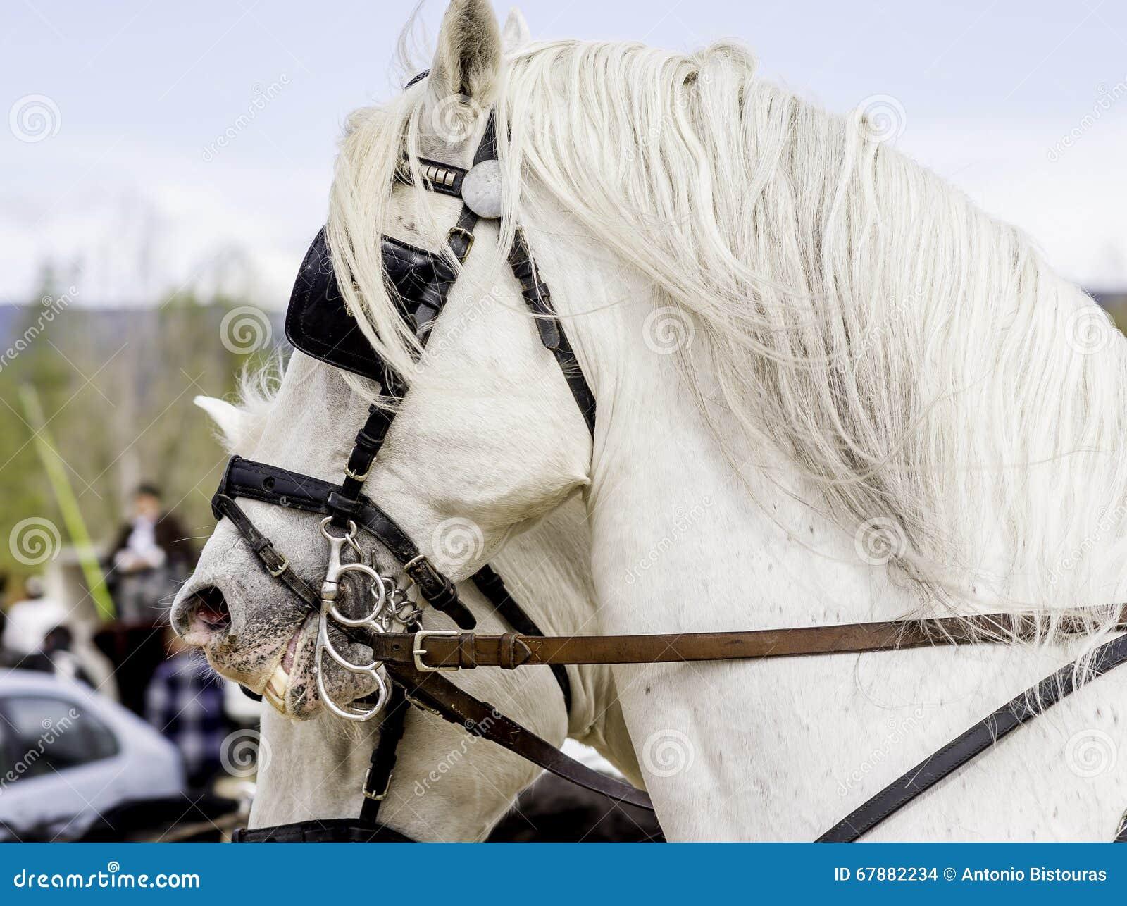 顶头两白色的horseÂ的