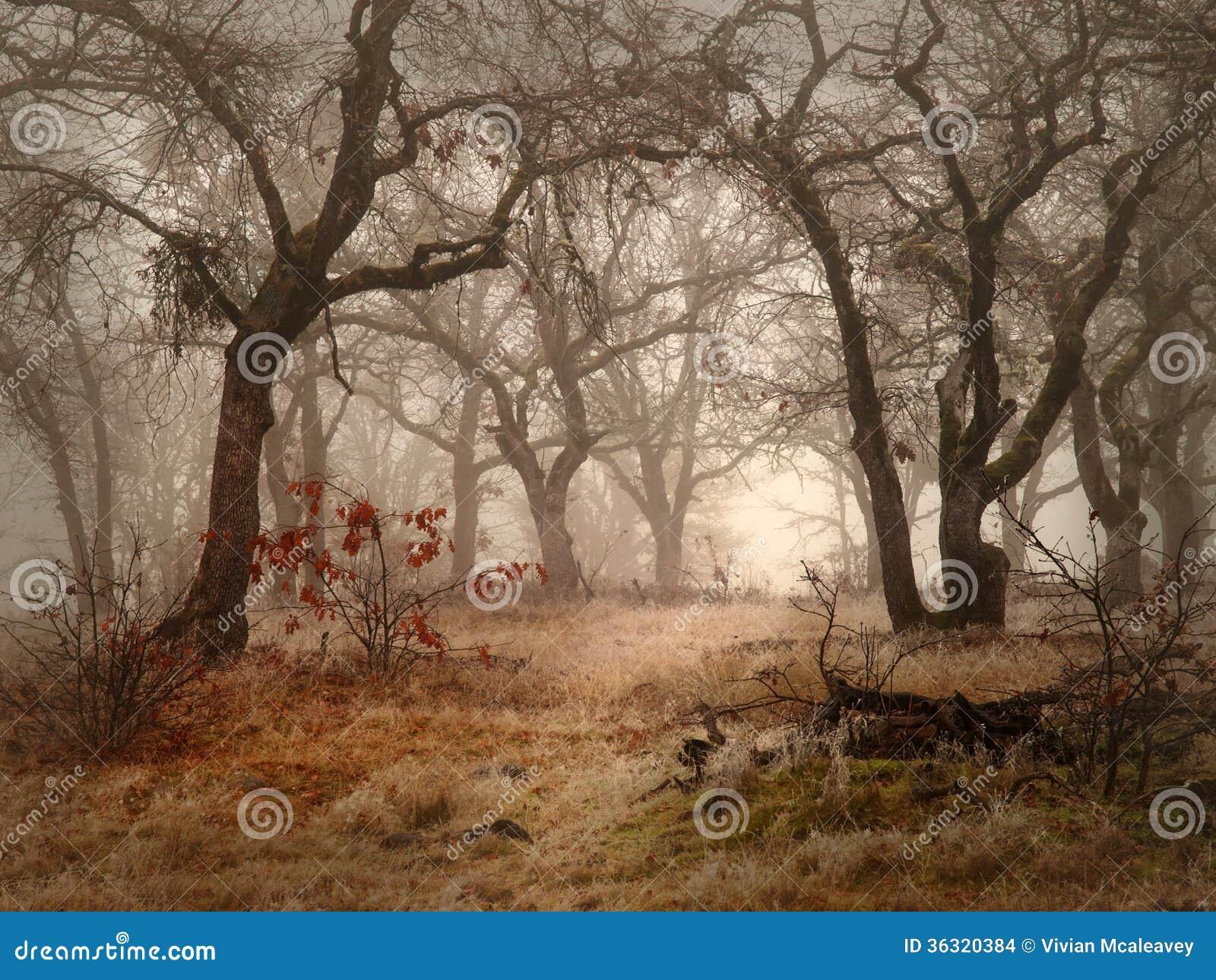 领域和橡木在有雾的天