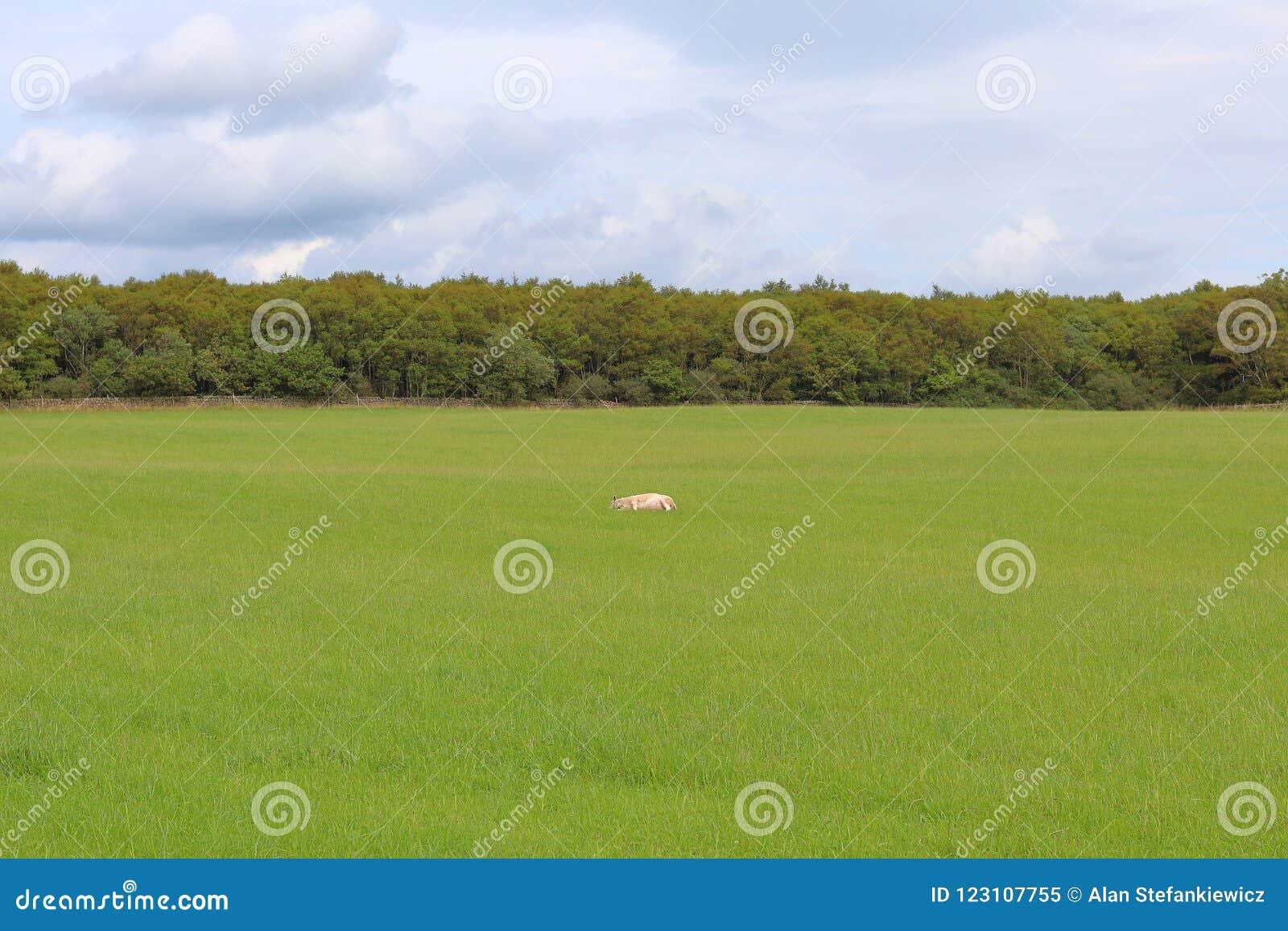领域的绵羊基于