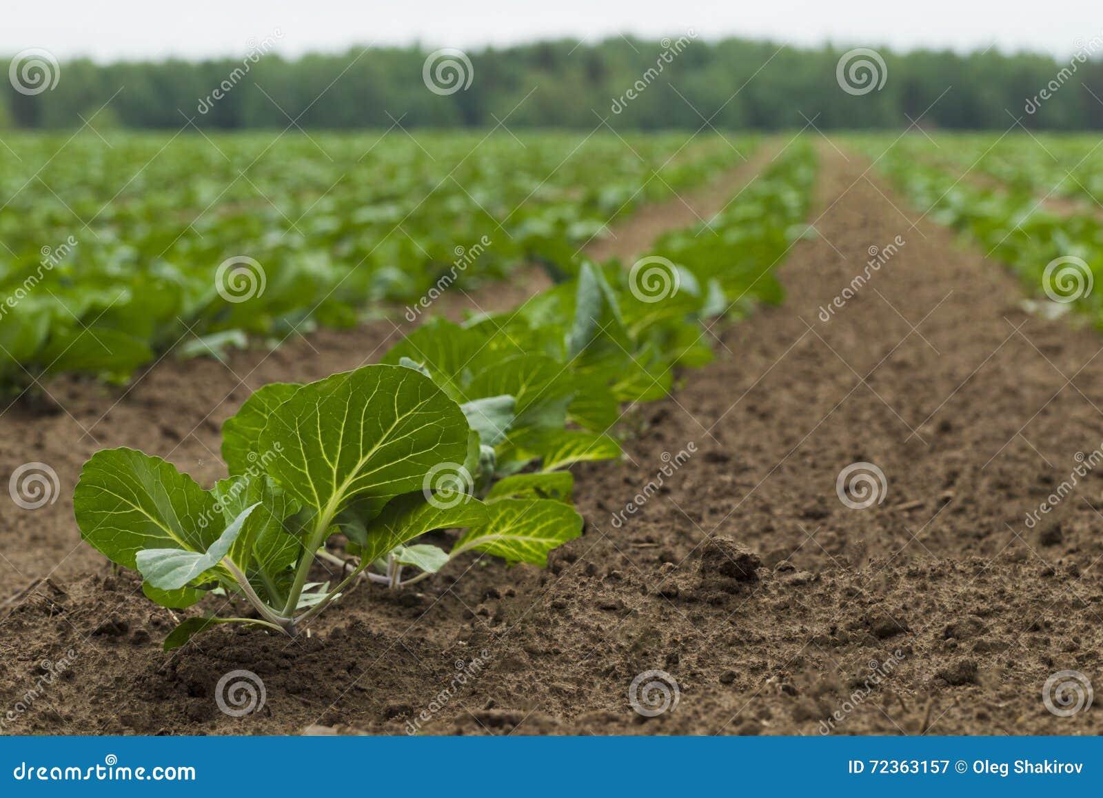 领域种植用圆白菜