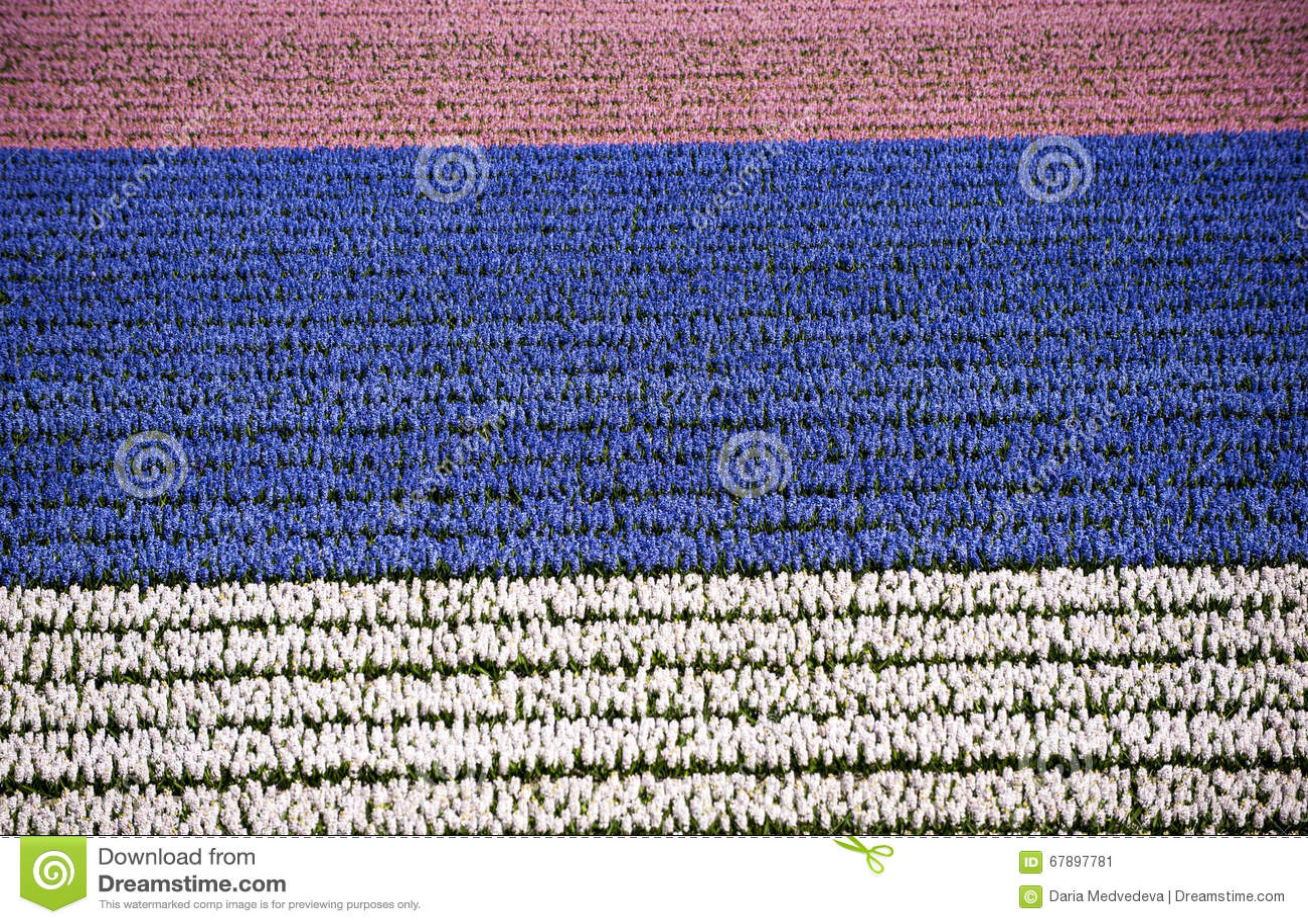 风信花领域,桃红色,蓝色,白色,荷兰