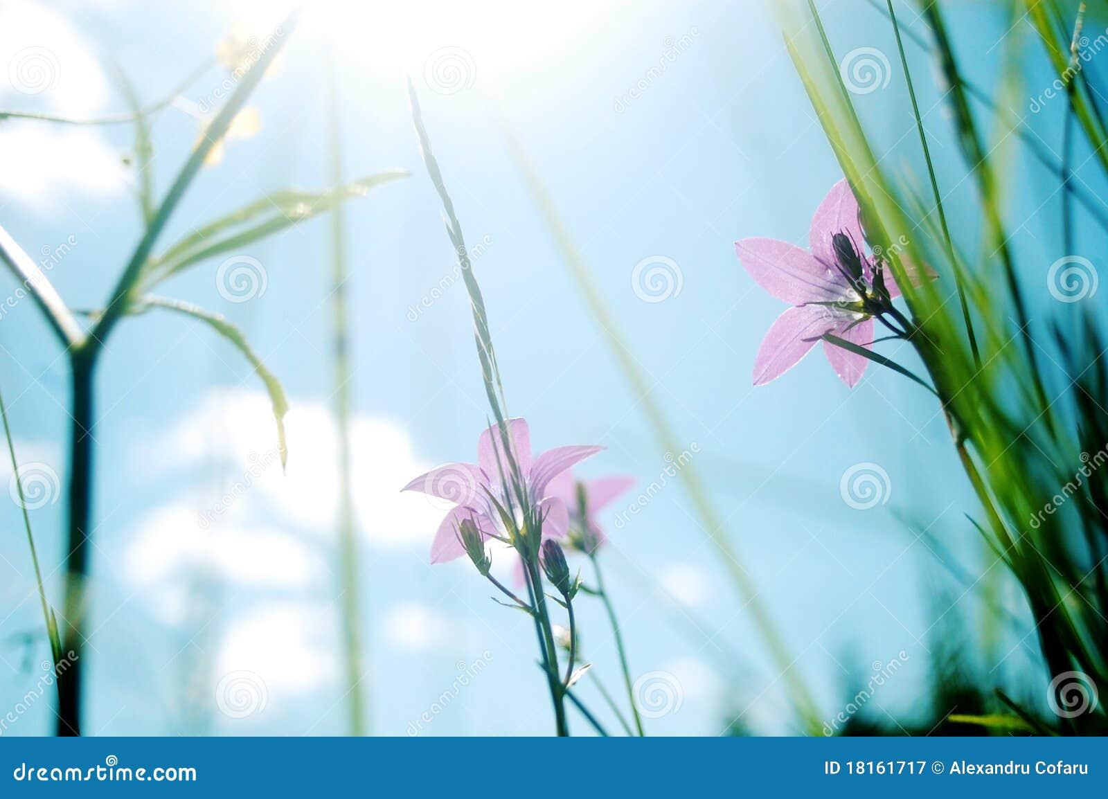 风铃草草甸