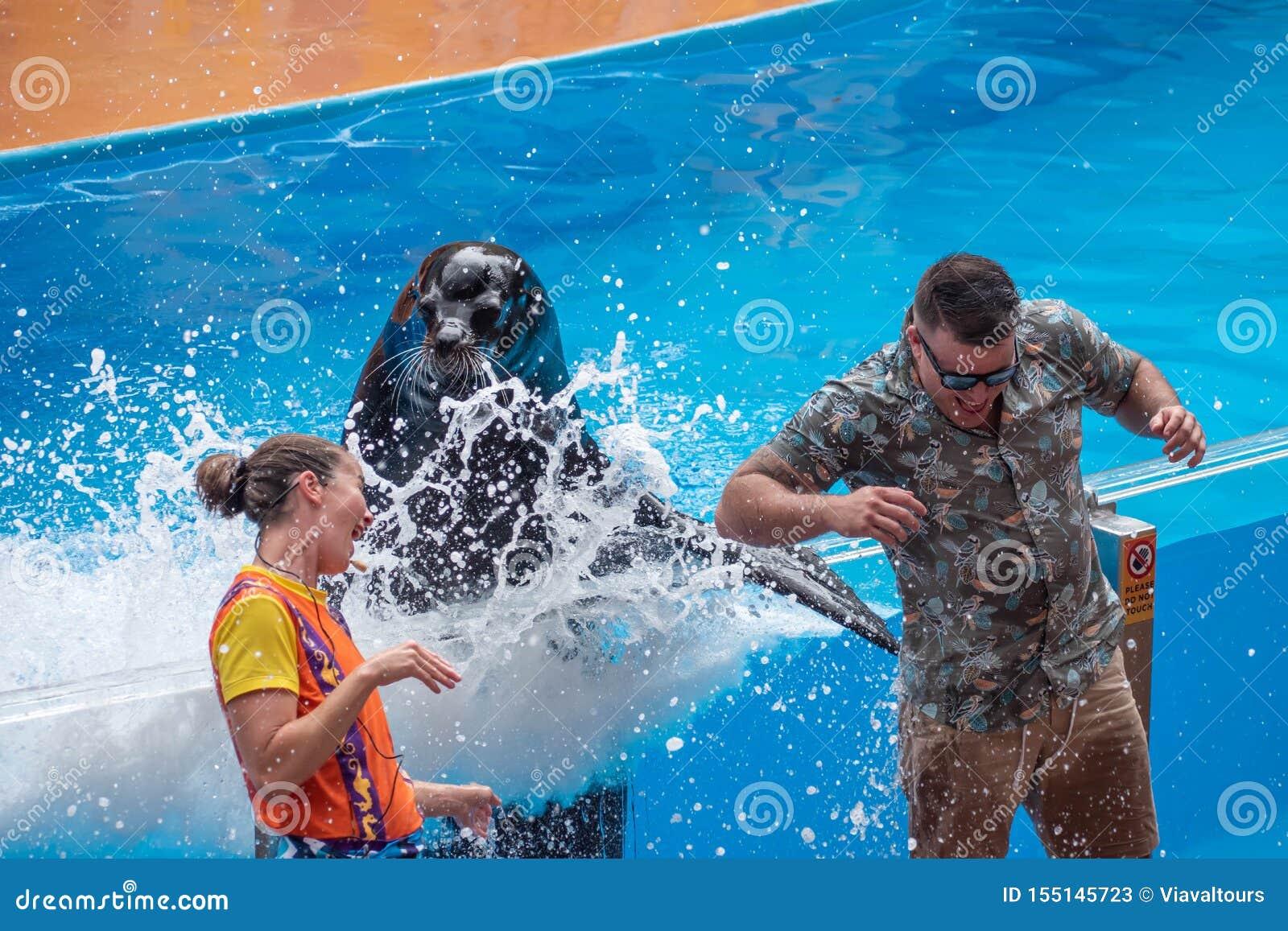 飞溅公开人的讨人喜欢的海狮与他的在海狮高展示的飞翅在Seaworld 3