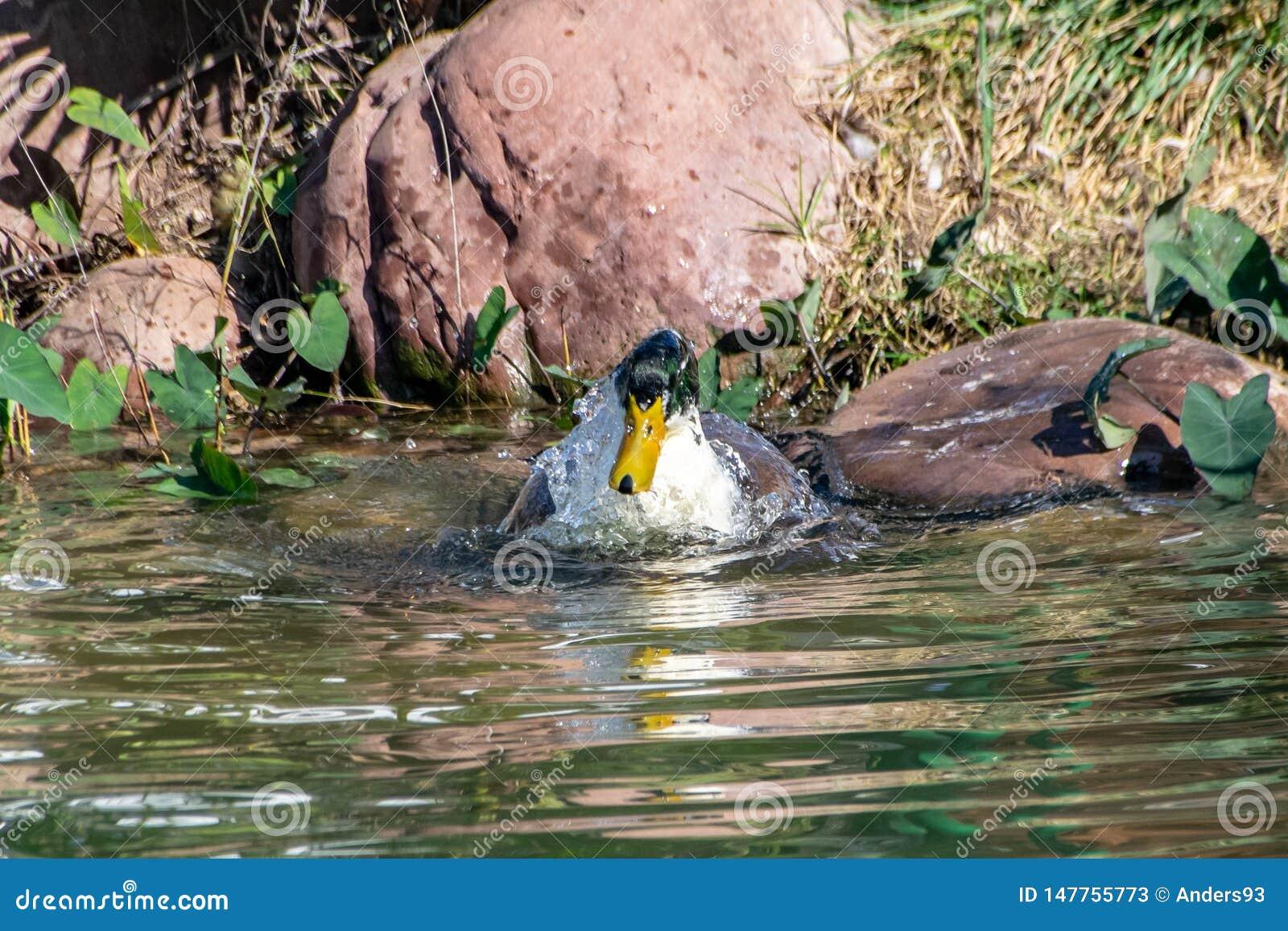 飞溅的鸭子,自夸和清洗羽毛全身羽毛在湖