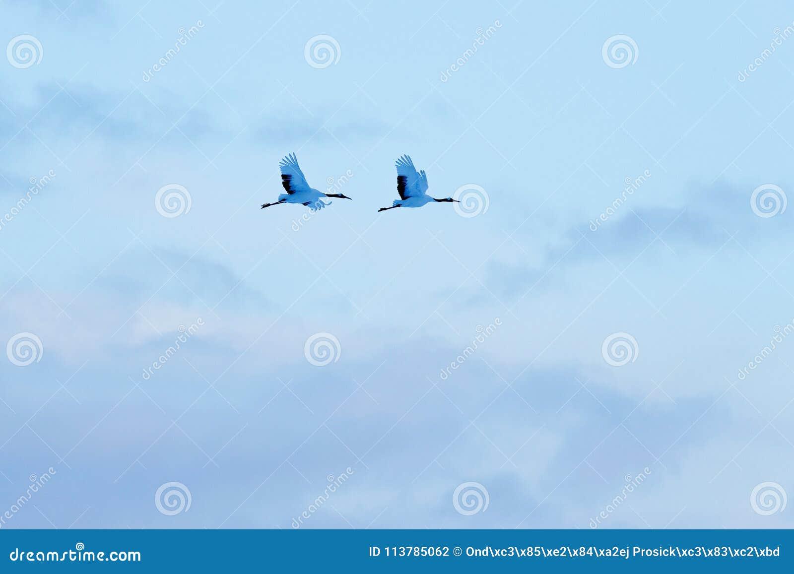 飞行两在雪草甸红加冠了起重机,有雪风暴的,北海道,日本 鸟飞行,与雪花的冬天场面 雪舞蹈
