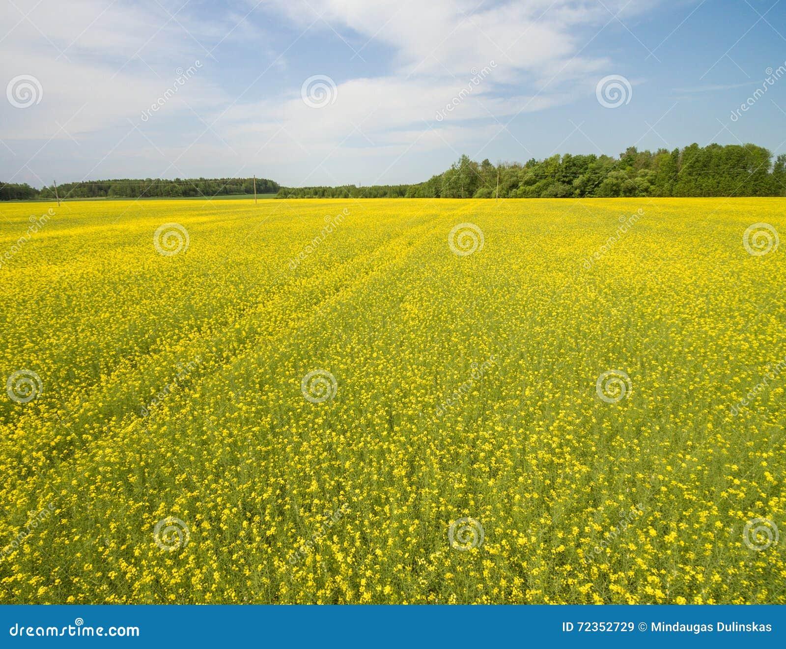 飞行在与寄生虫的油菜籽领域 Landsacape