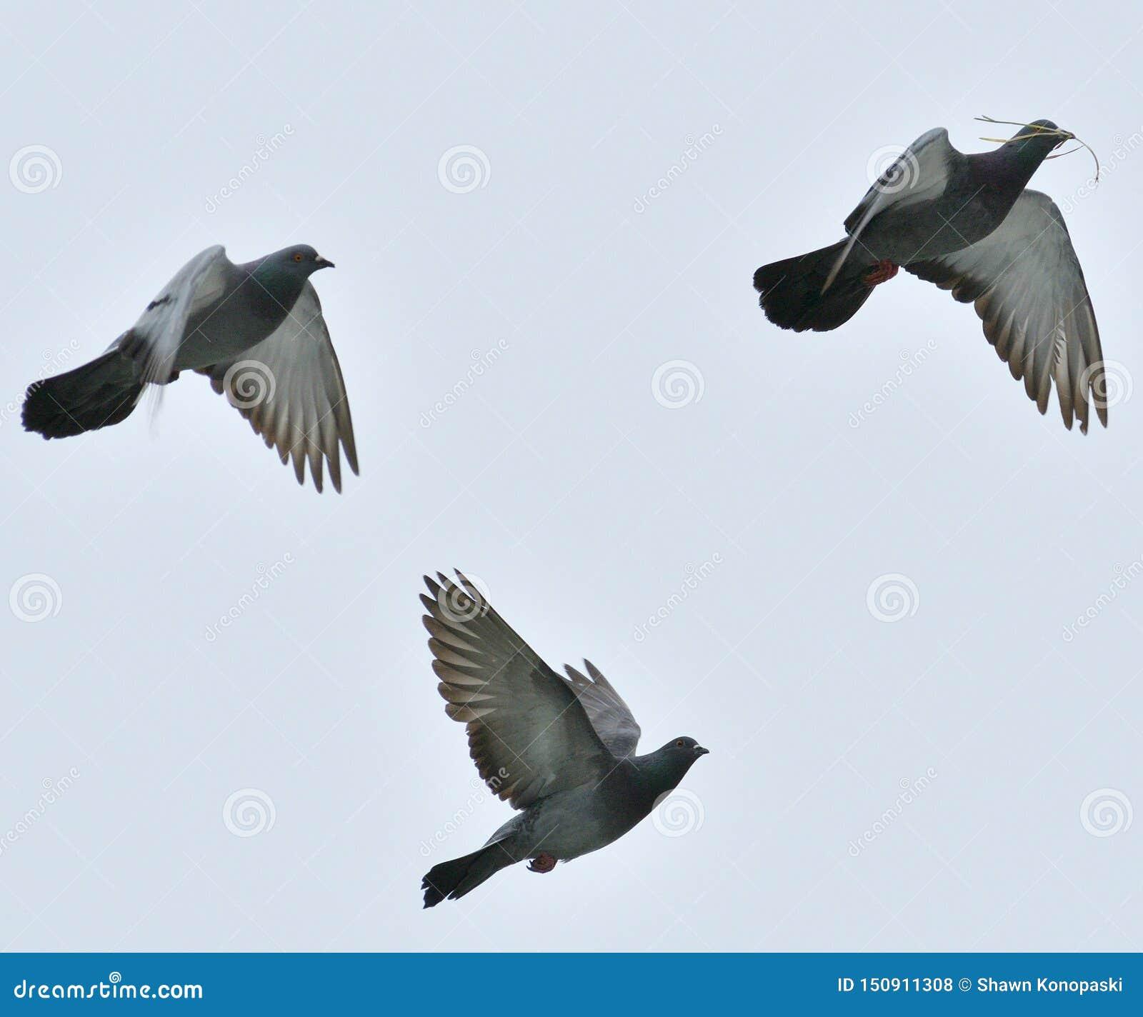 飞行在农场附近的鸽子