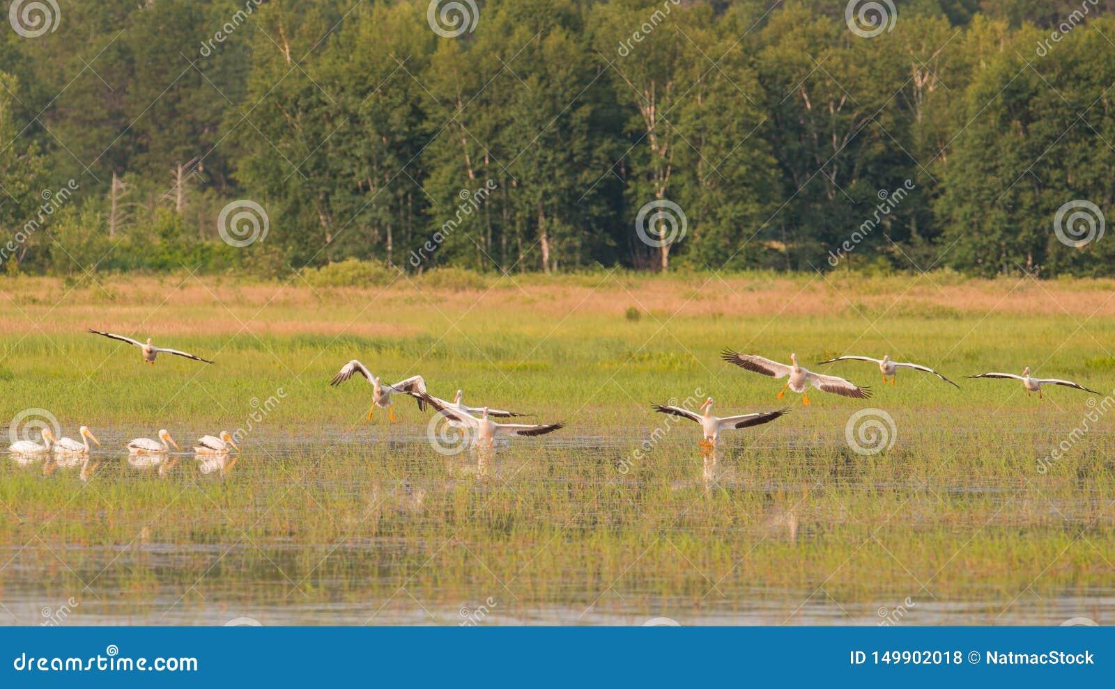 飞行在夏天期间的美国白色鹈鹕分谴舰队在Crex草甸野生生物地区-主要沼泽地区域