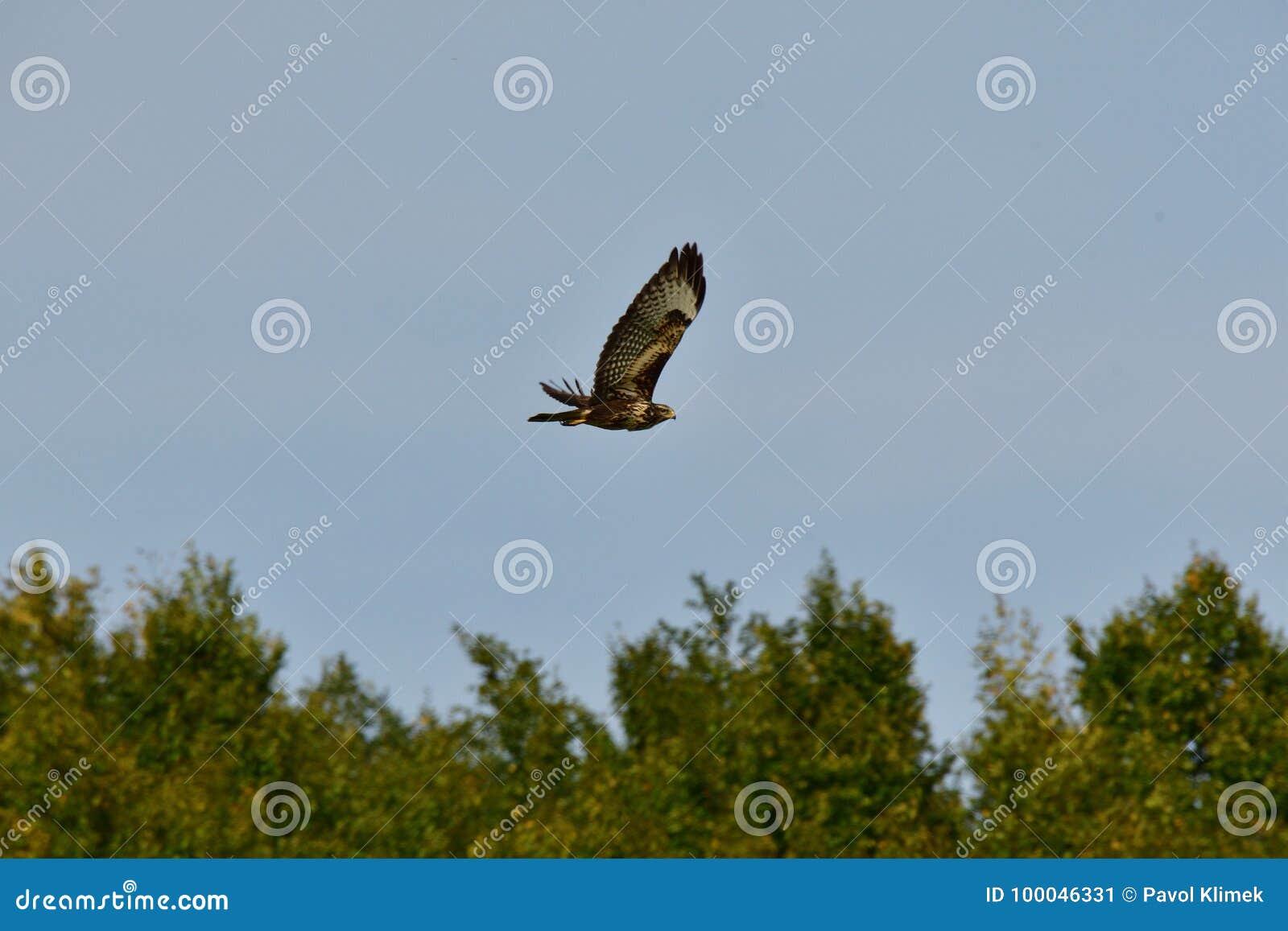 飞行在森林的掠食性鹰
