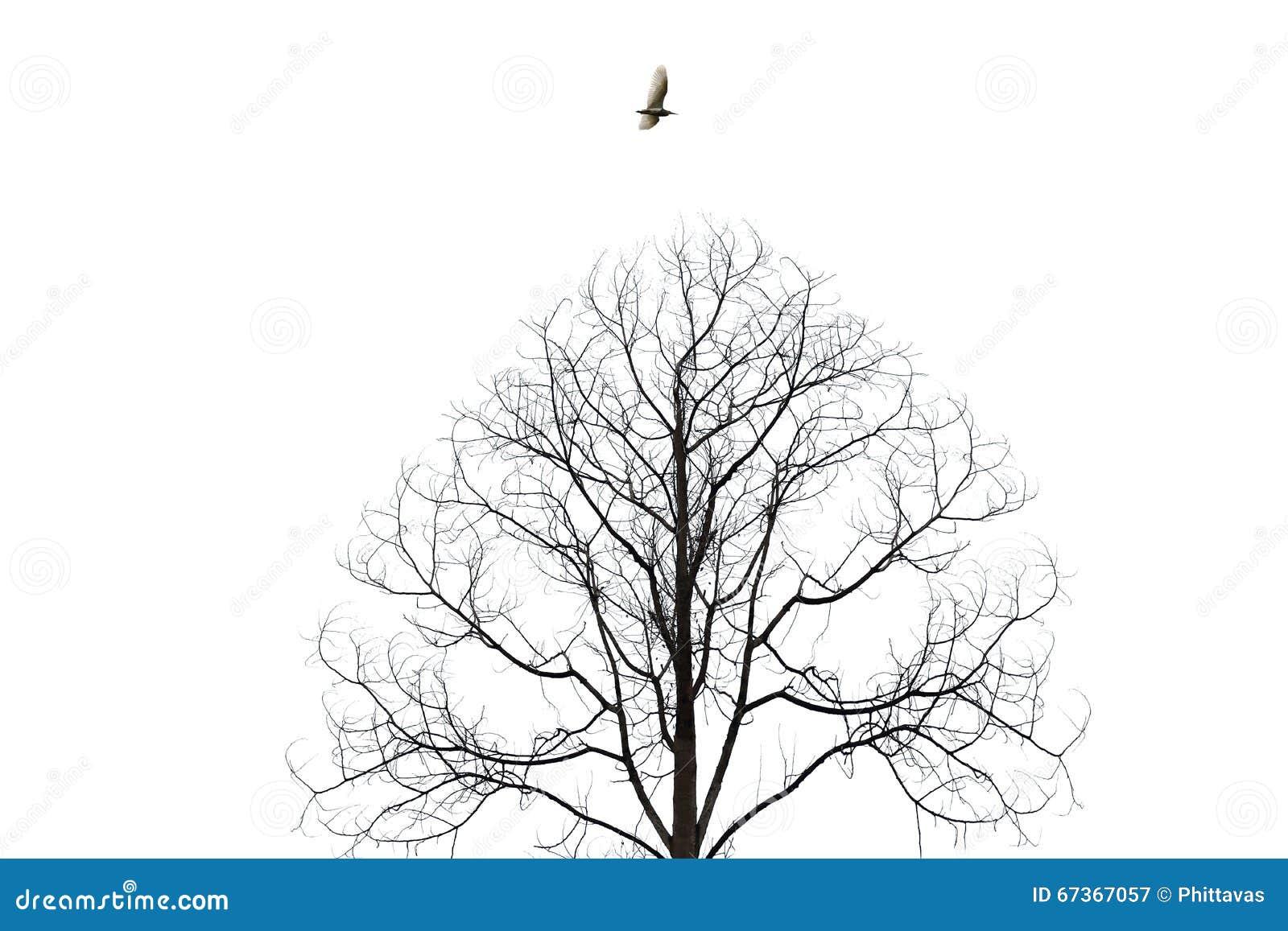 飞行在白色背景的贫瘠树孤立的鸟