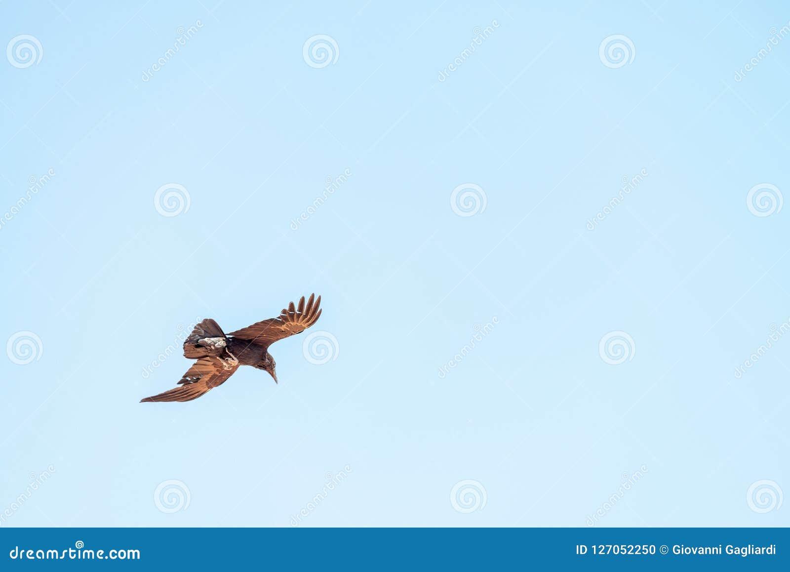 飞行在谷的鸟准备好夺取牺牲者