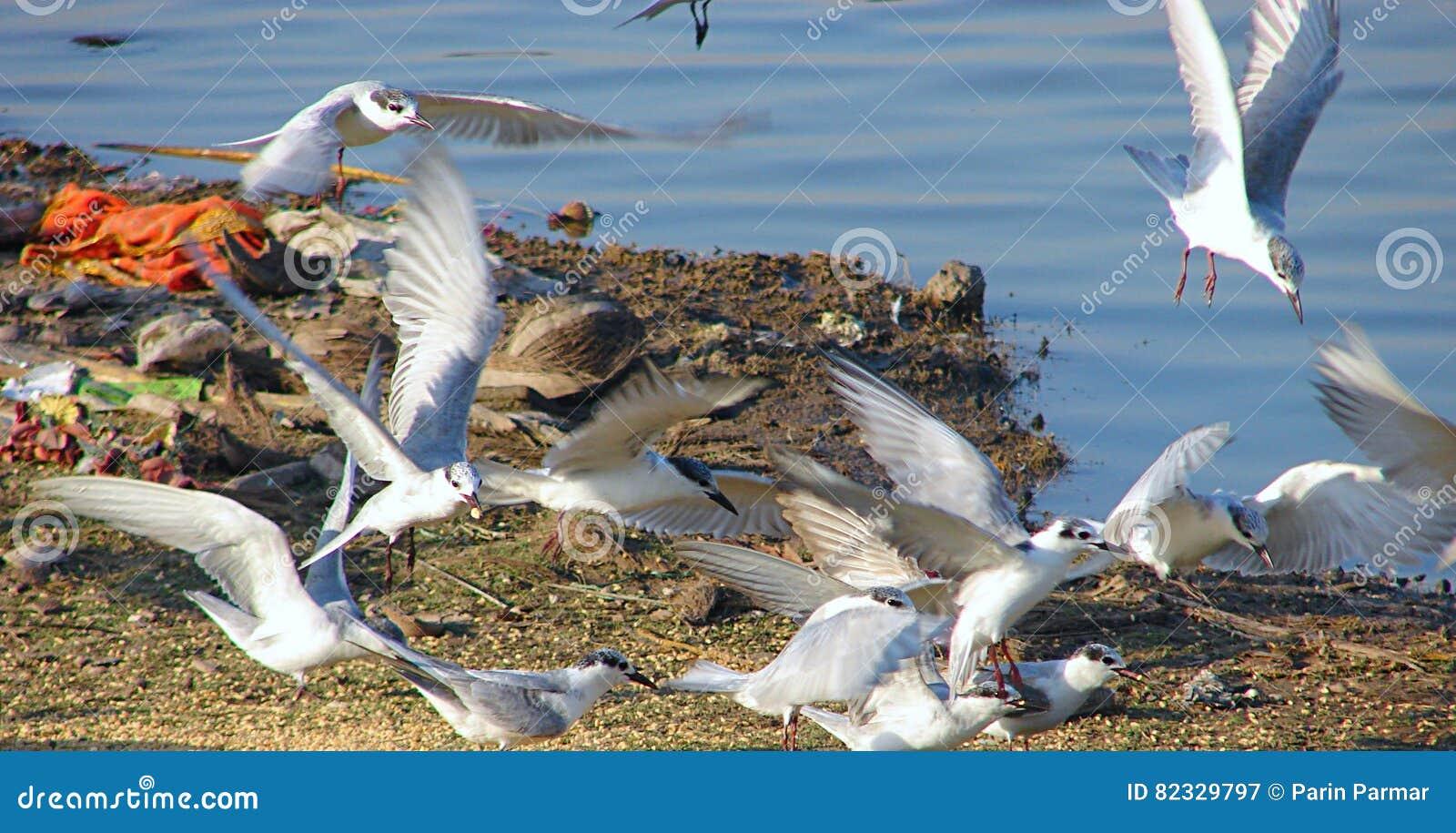 飞行在Randarda湖,拉杰科特的Whiskered燕鸥