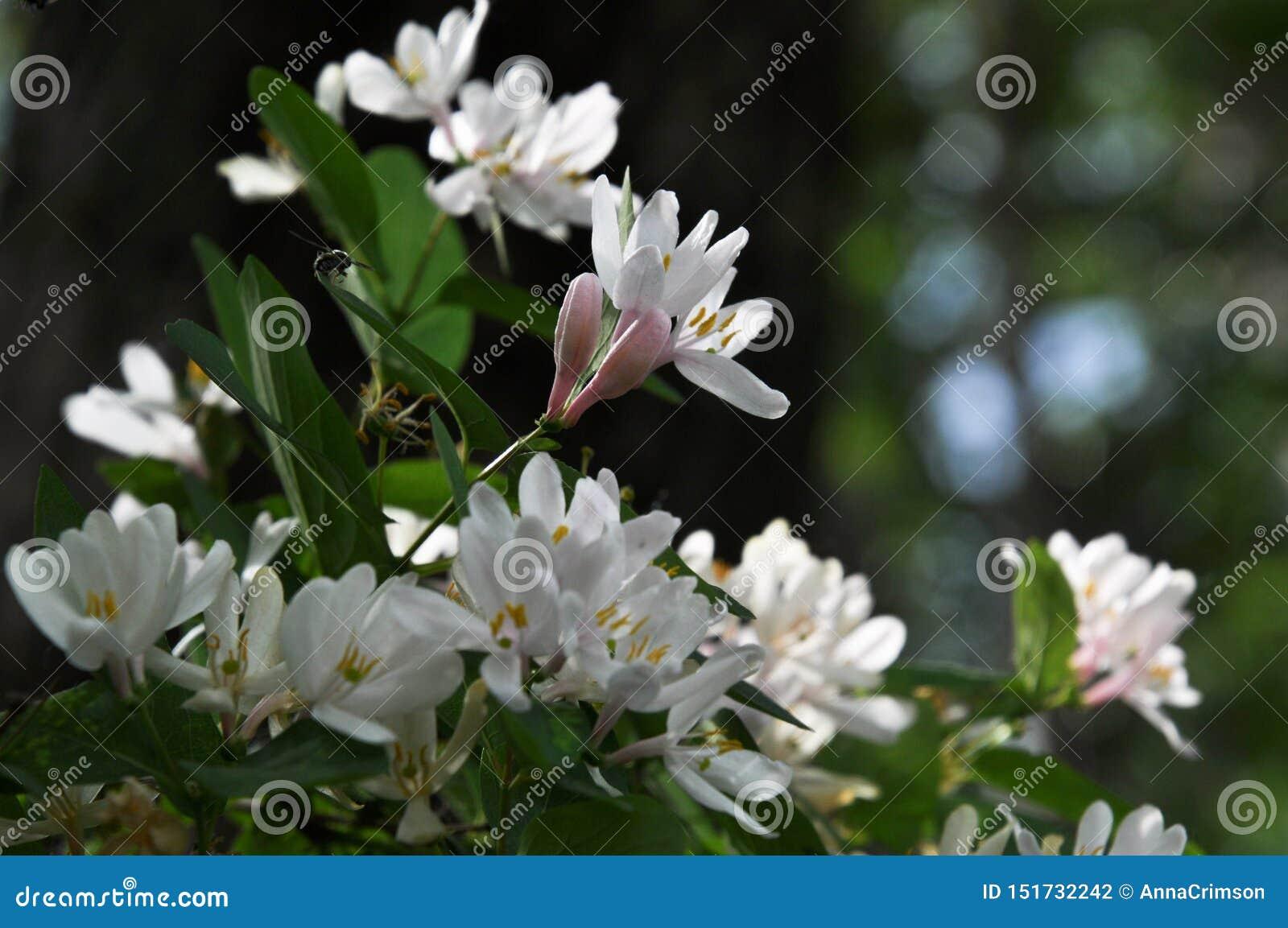 飞行忍冬属植物花和芽特写镜头