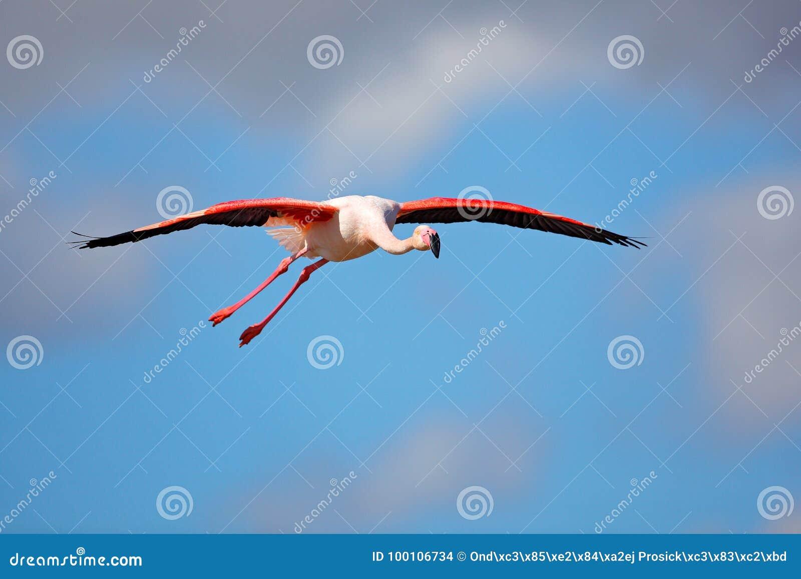 飞行的更加伟大的火鸟, Phoenicopterus ruber,与清楚的蓝天, Camargue,法国的桃红色大鸟 在飞行的火鸟 桃红色鸟