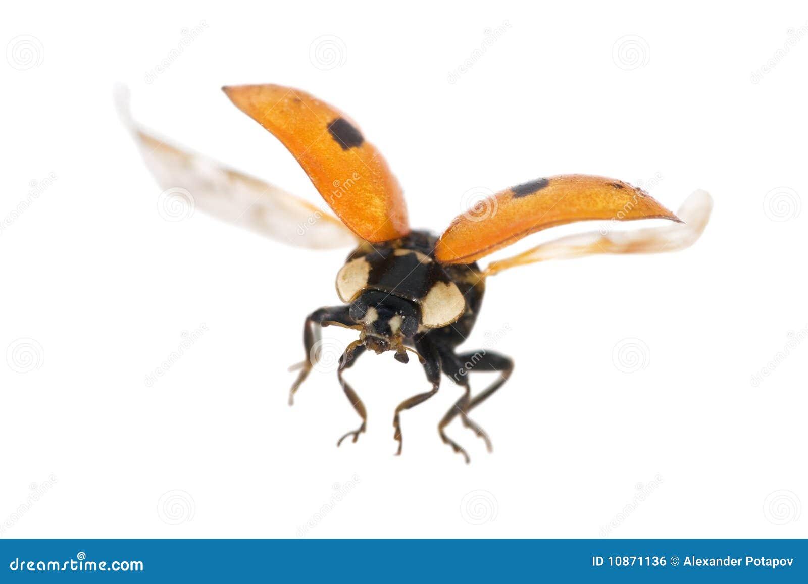 飞行的查出的瓢虫