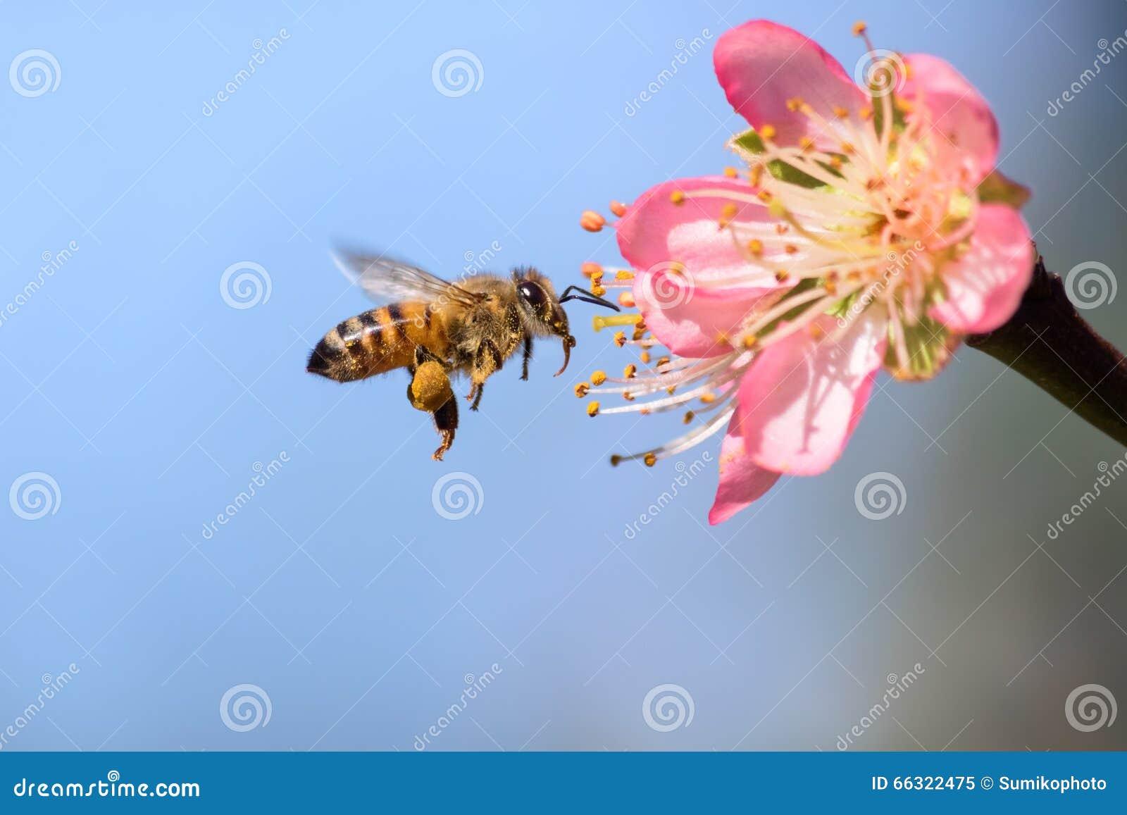 飞行的蜜蜂离开金桃子花